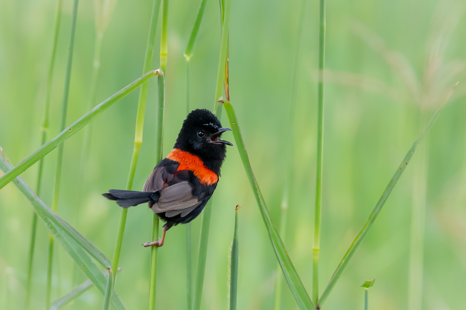 Red-backed Fairy-wren (Image ID 45261)