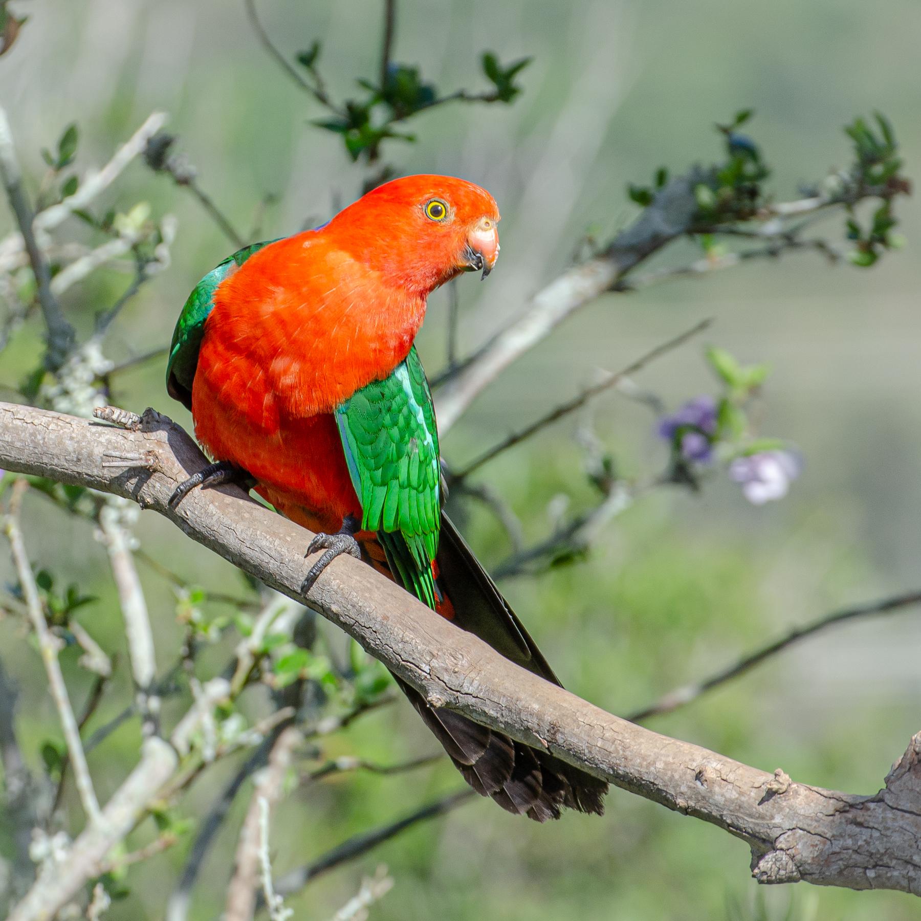 Australian King-Parrot (Image ID 45474)