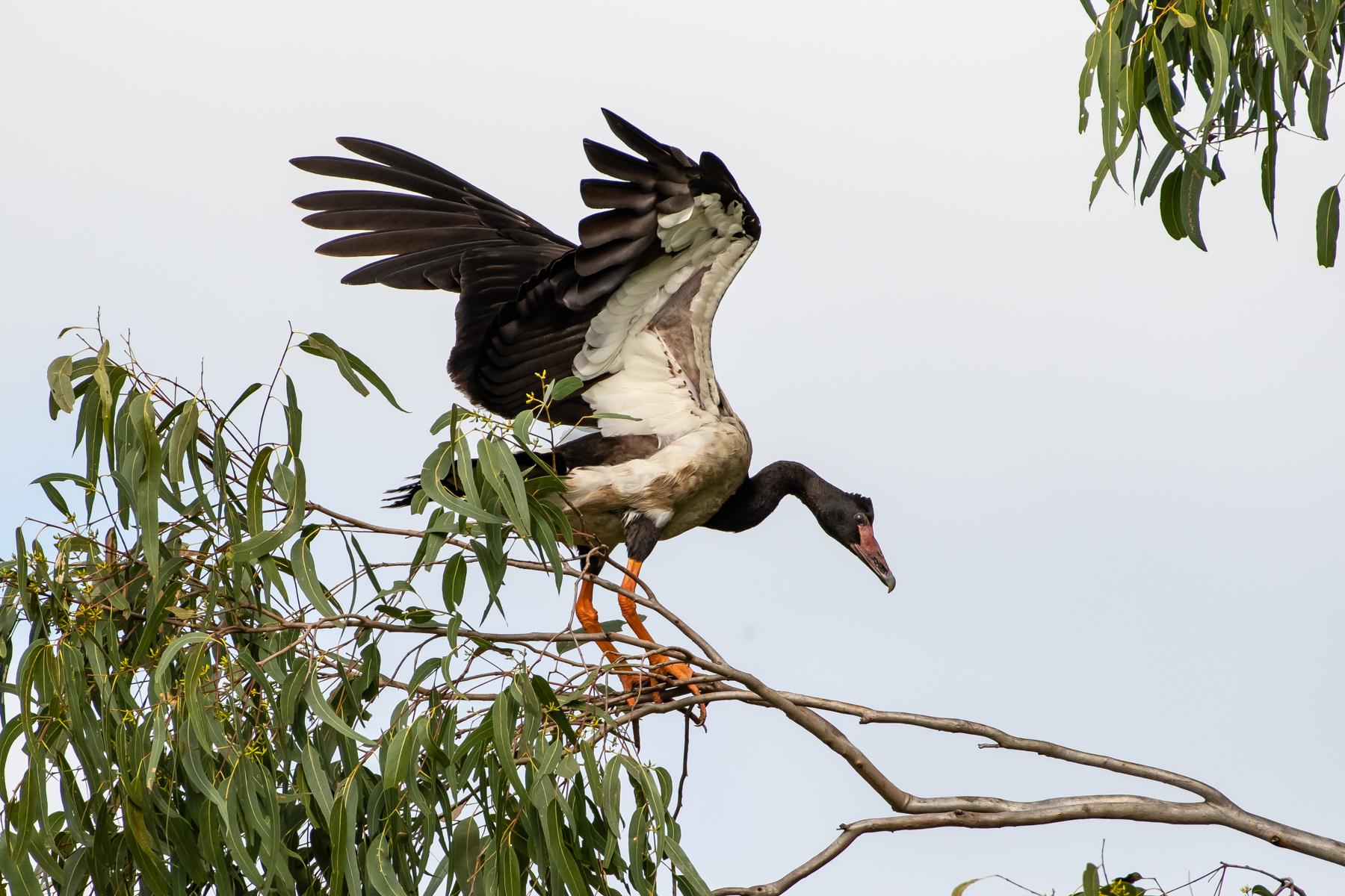 Magpie Goose (Image ID 45206)