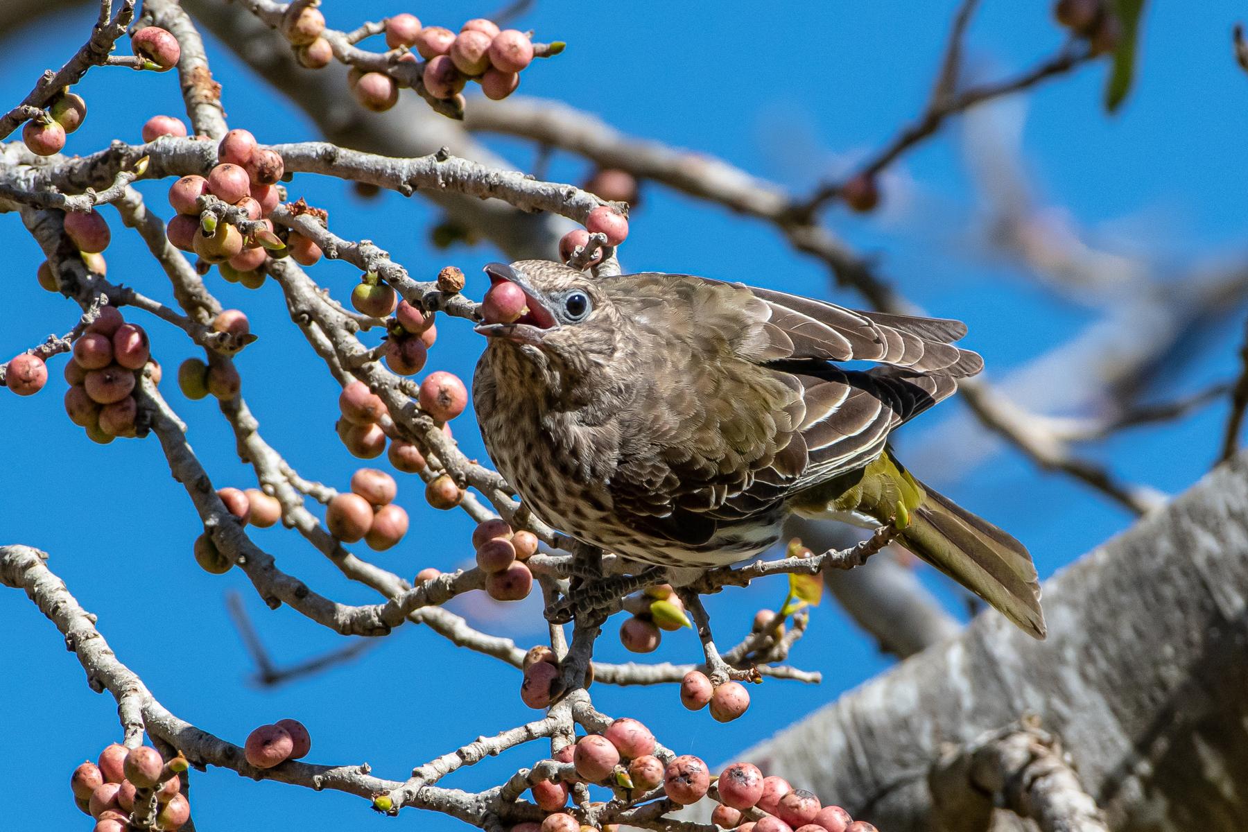 Australasian Figbird (Image ID 45375)