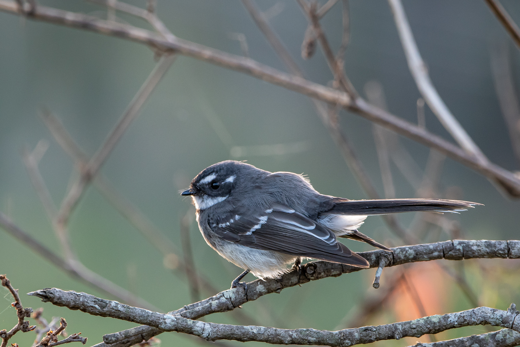 Grey Fantail (Image ID 45089)