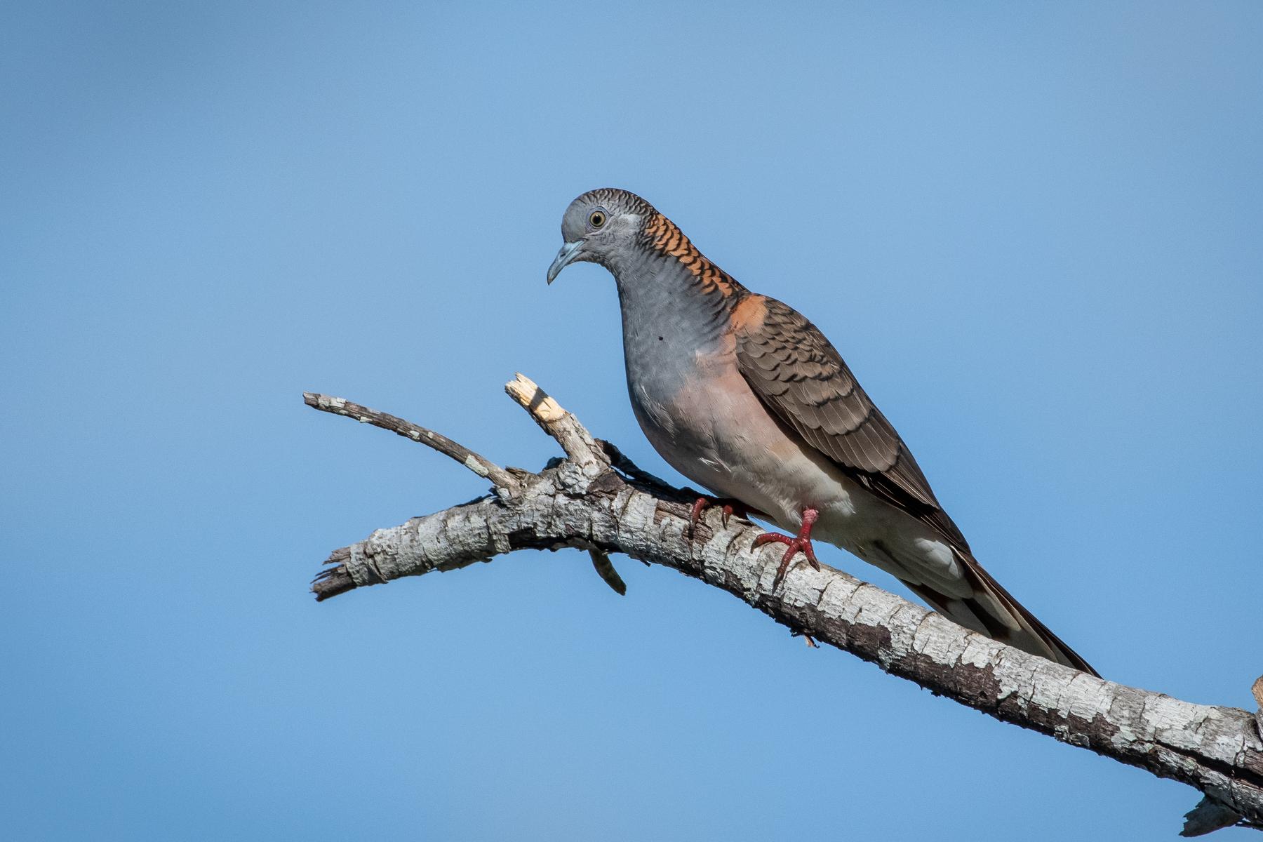 Bar-shouldered Dove (Image ID 45209)