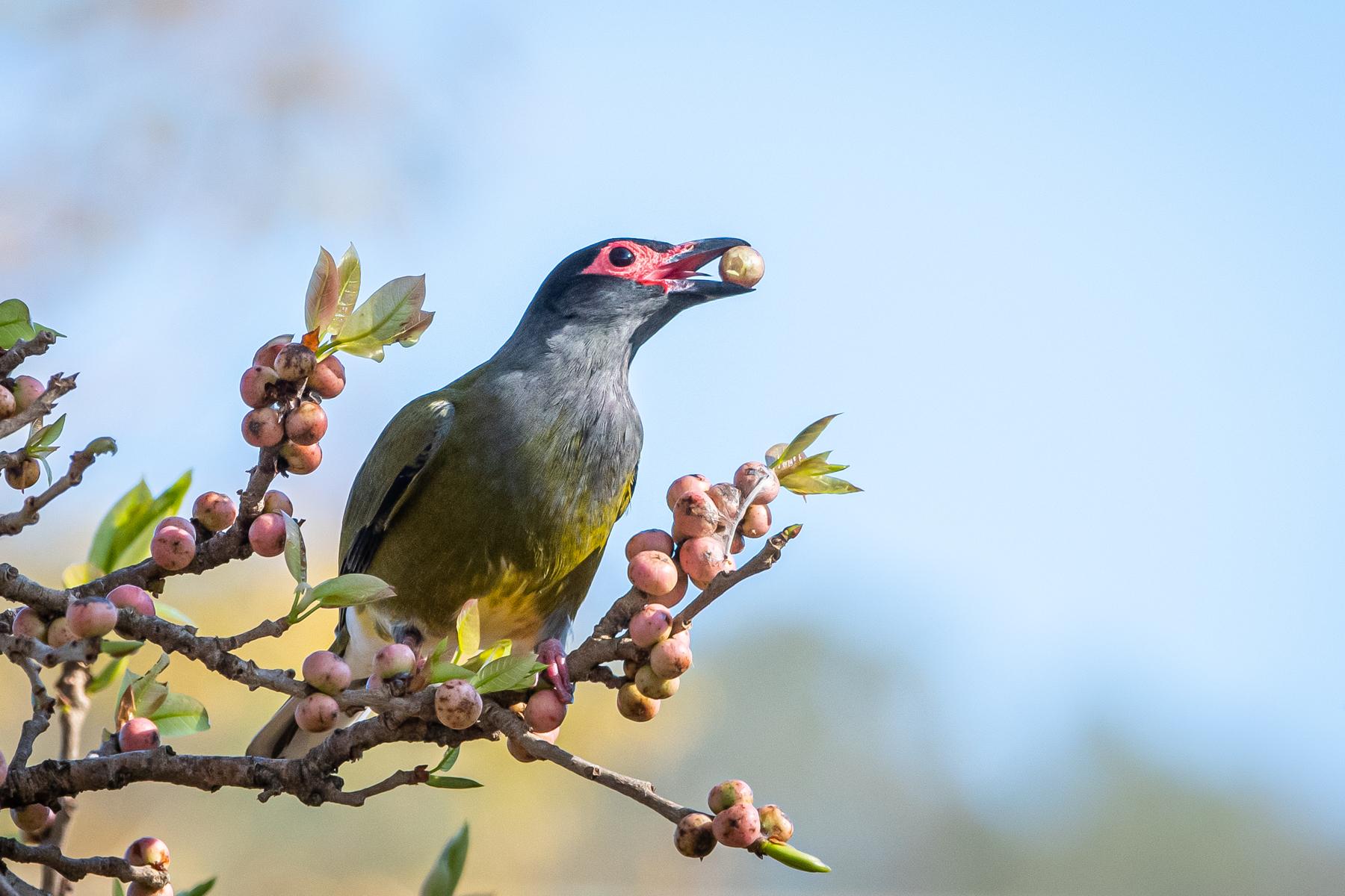 Australasian Figbird (Image ID 45299)