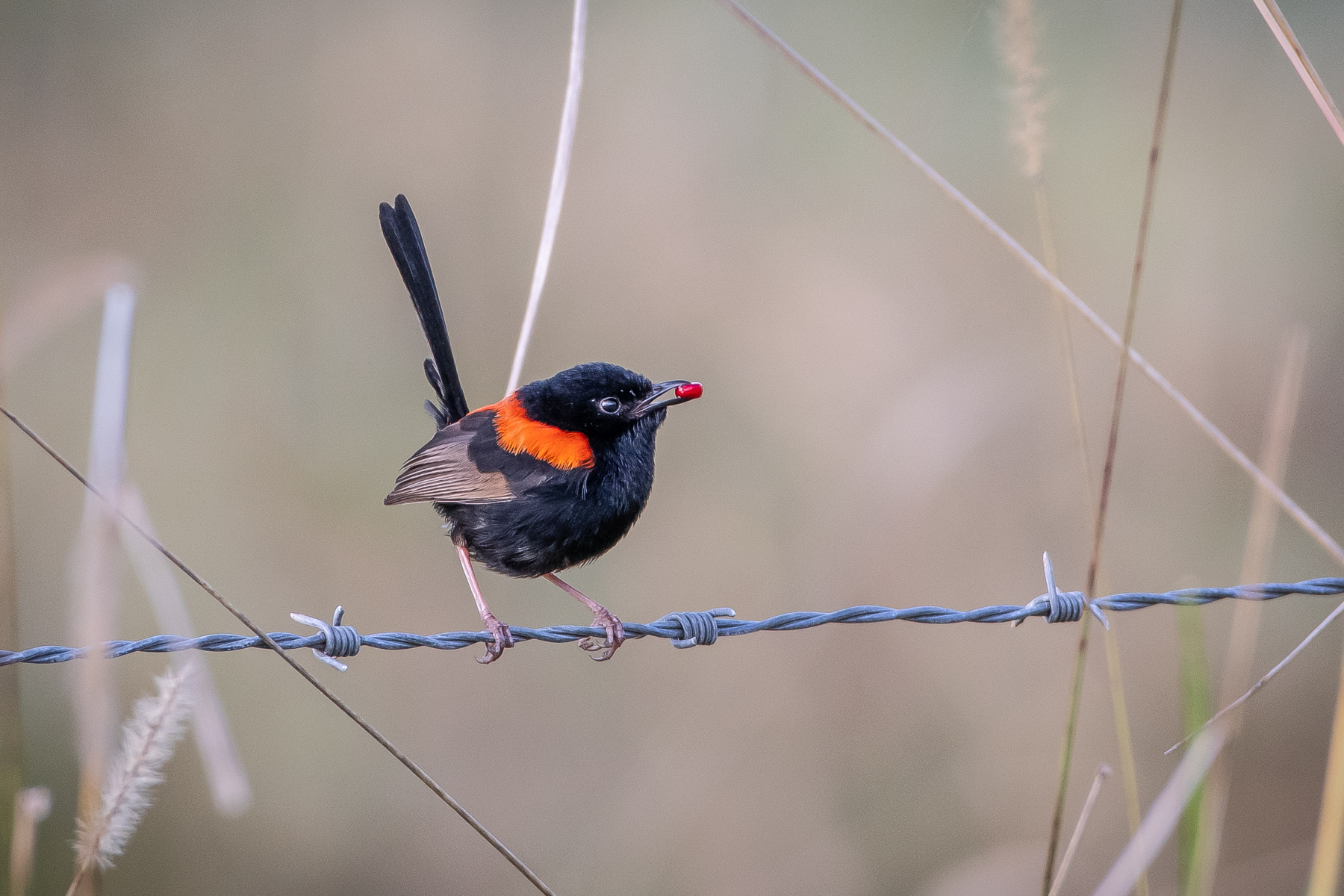 Red-backed Fairy-wren (Image ID 45208)