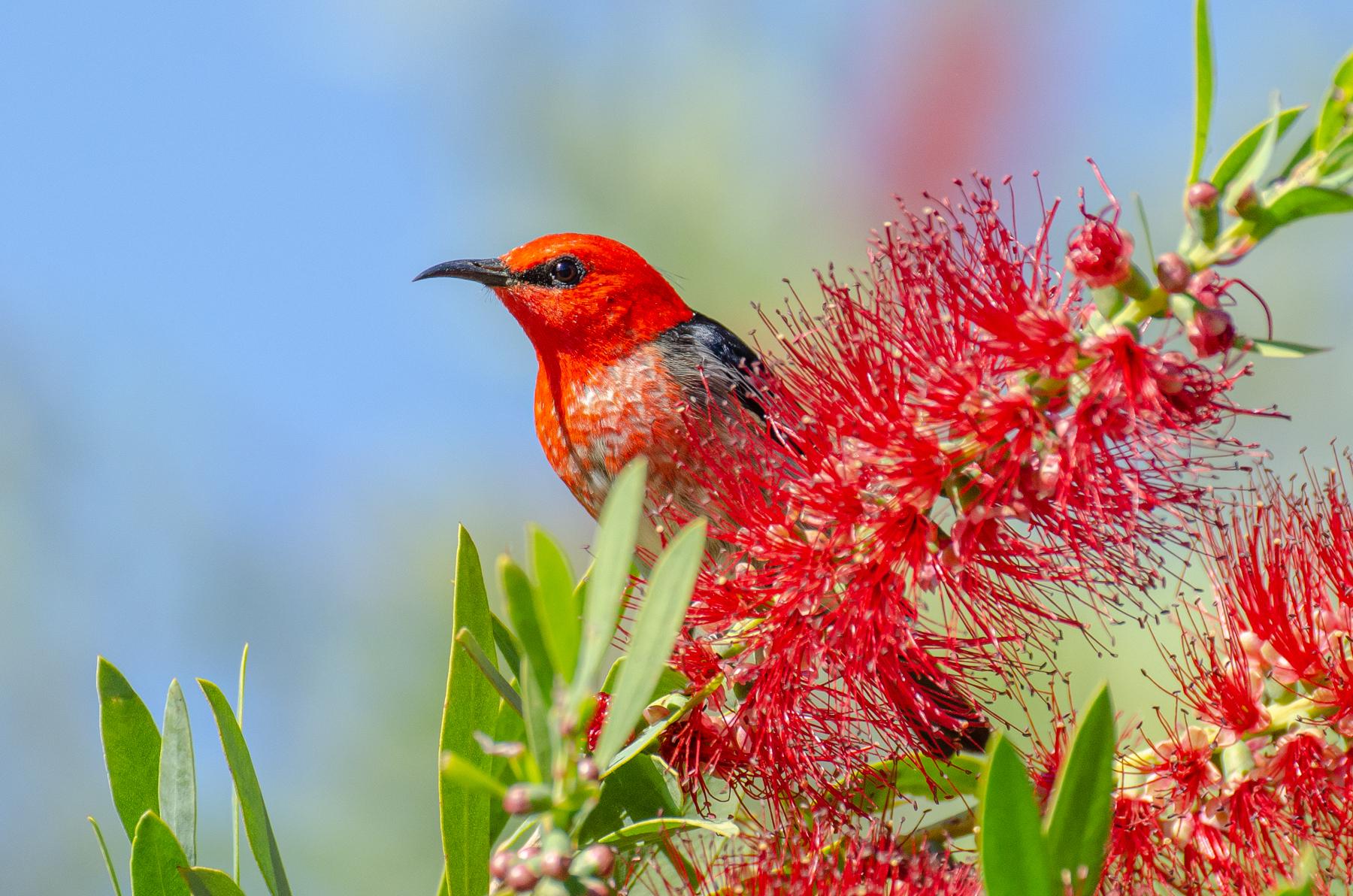 Scarlet Honeyeater (Image ID 45362)
