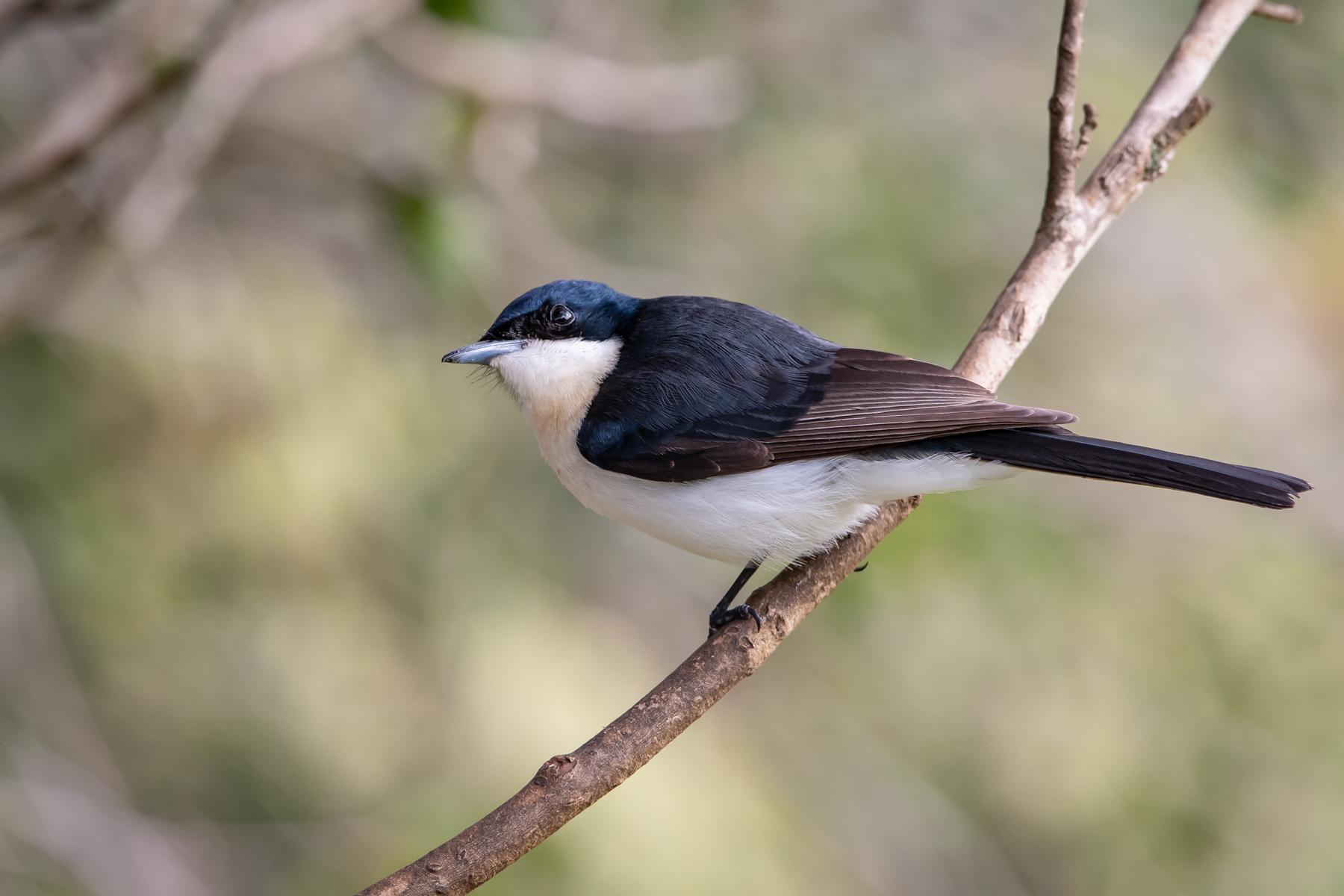 Restless Flycatcher (Image ID 45126)