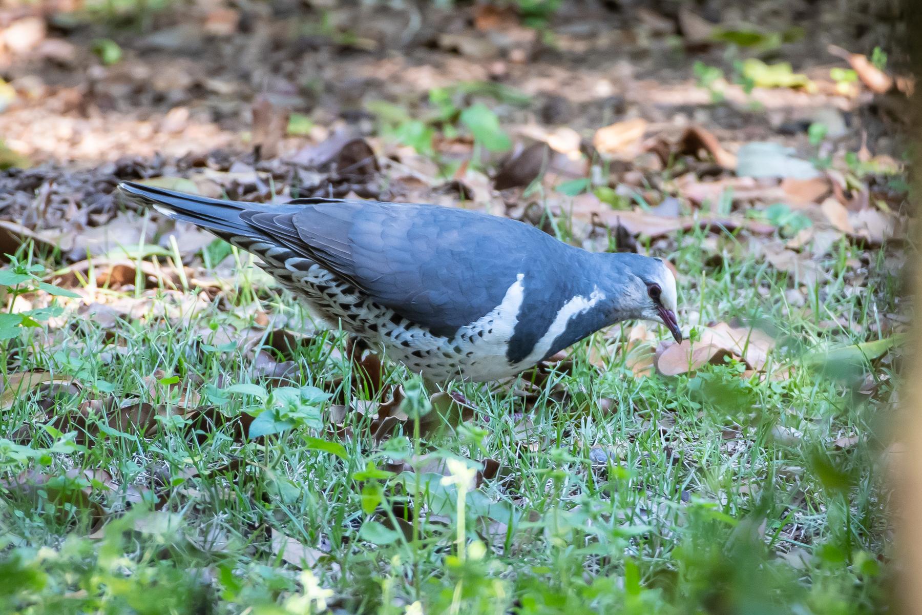 Wonga Pigeon (Image ID 45243)