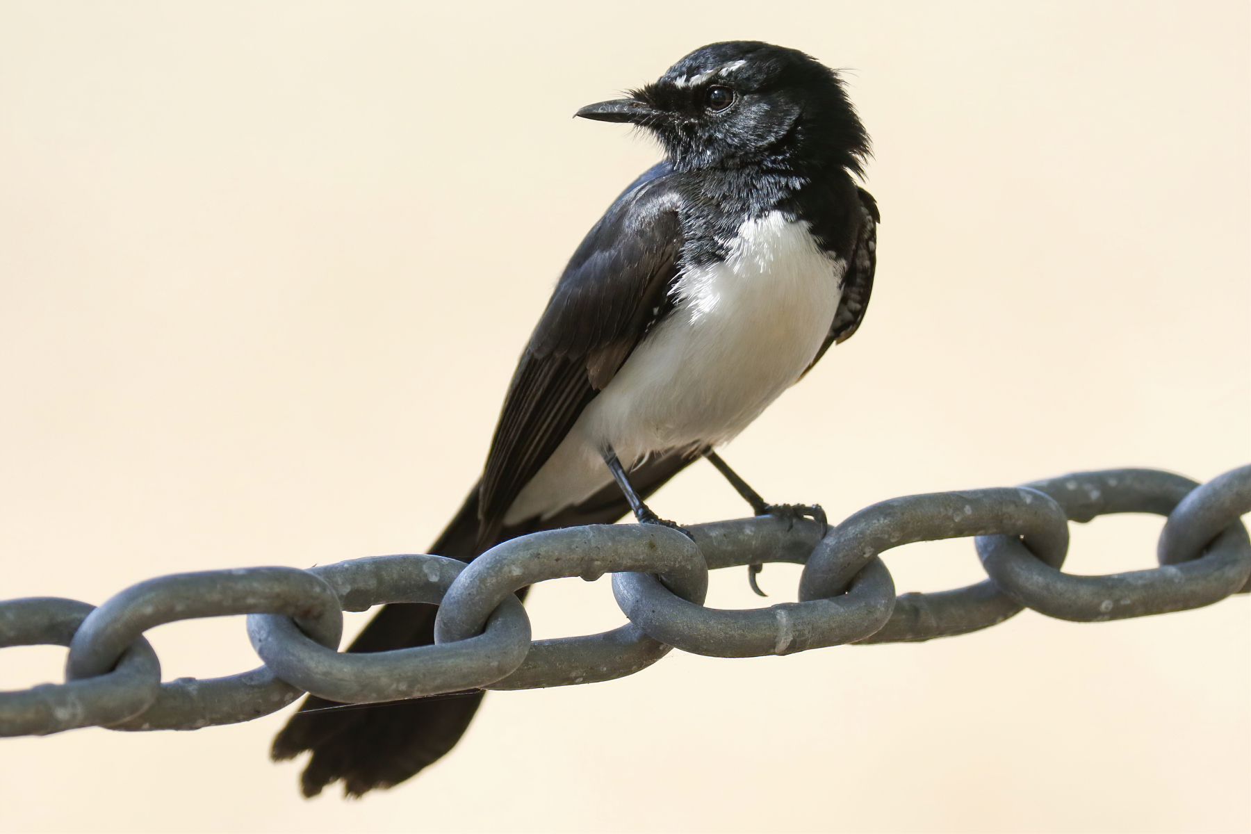 Willie Wagtail (Image ID 45434)