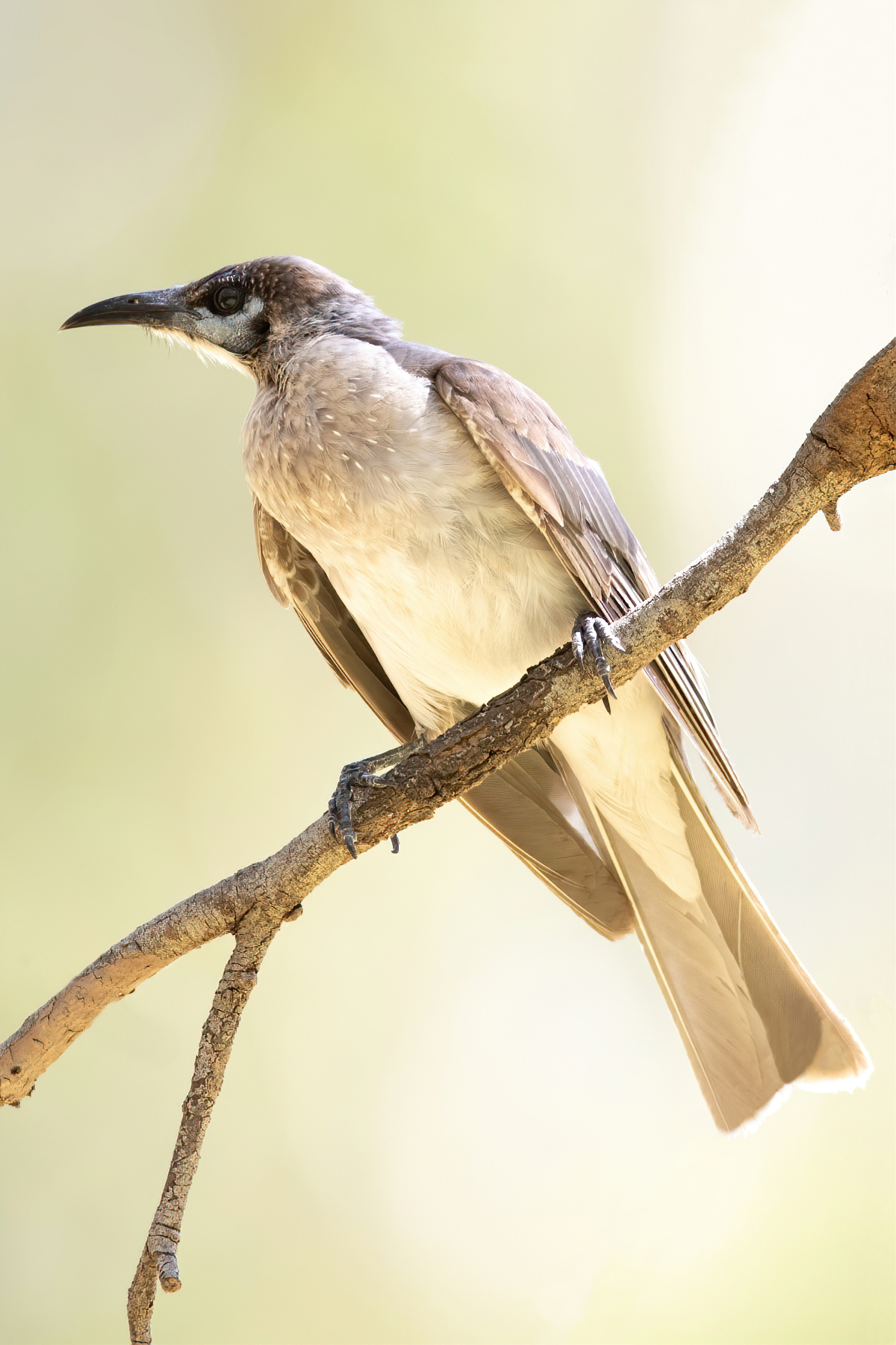 Little Friarbird (Image ID 45392)