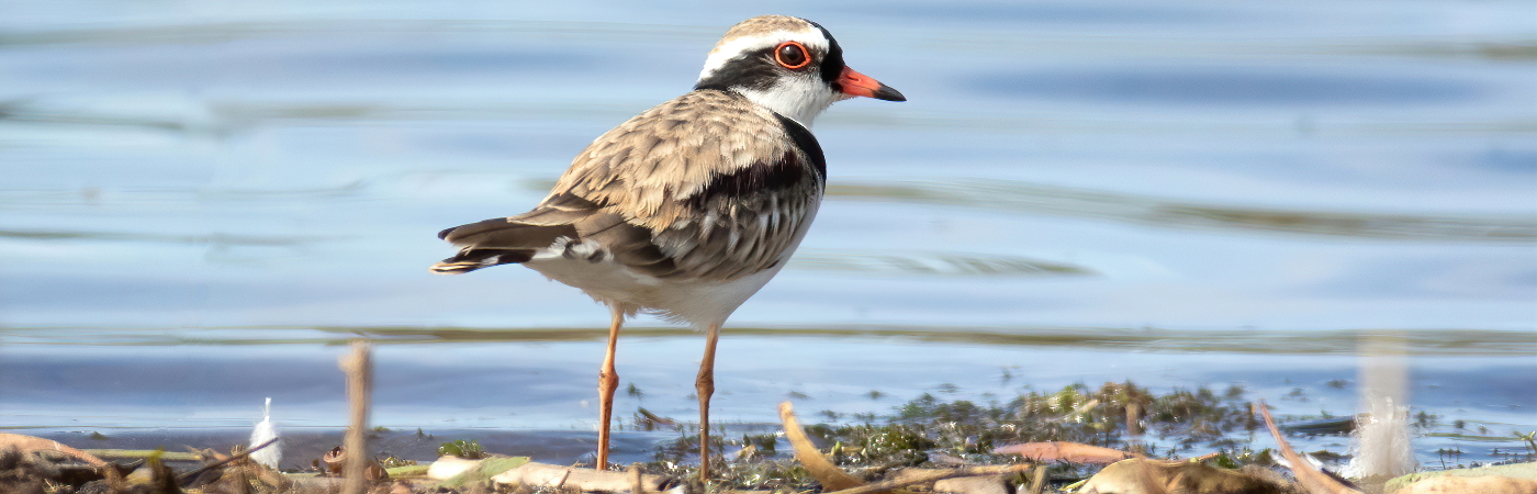 Black-fronted Dotterel (Image ID 45484)