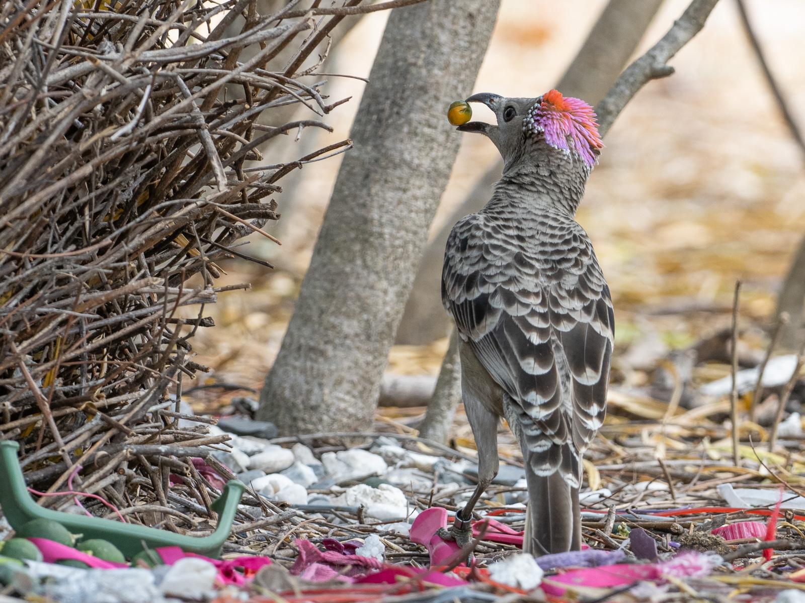 Great Bowerbird (Image ID 45254)