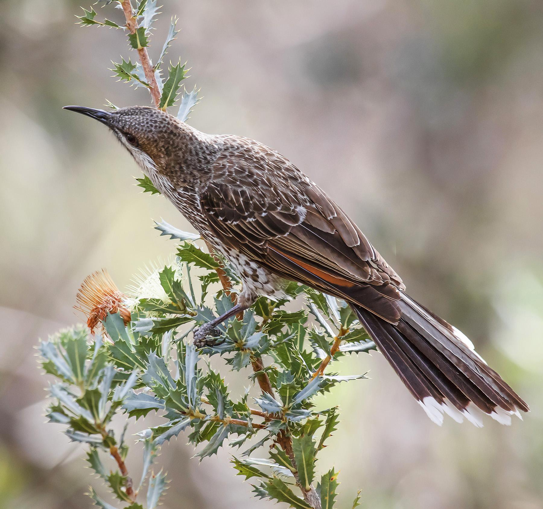 Little Wattlebird (Image ID 45222)