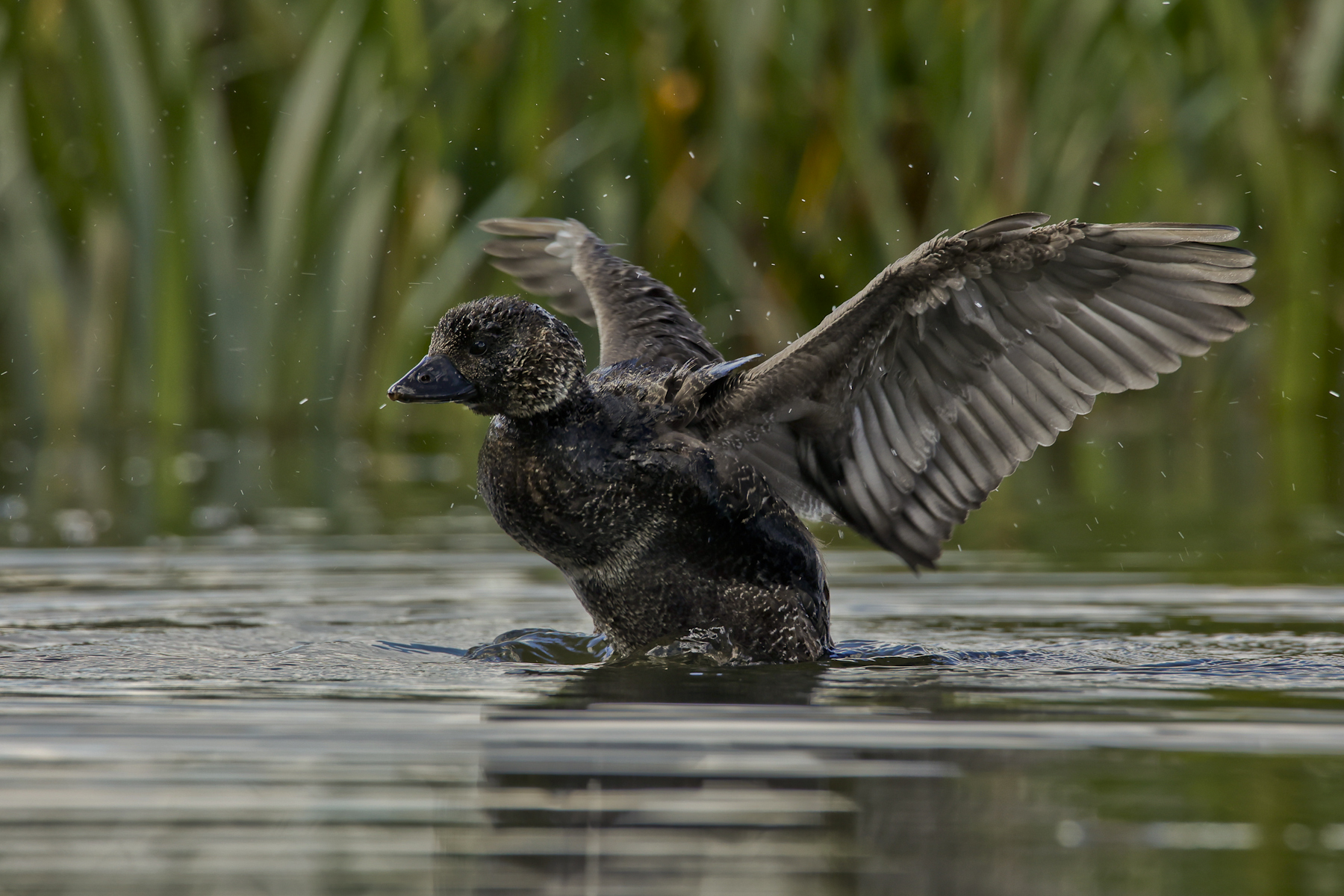 Musk Duck (Image ID 45513)