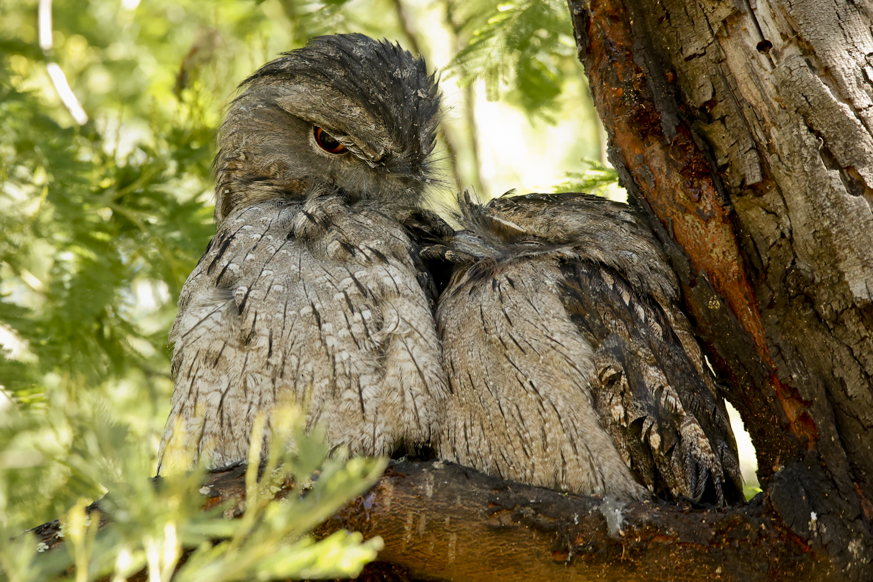 Tawny Frogmouth (Image ID 45197)