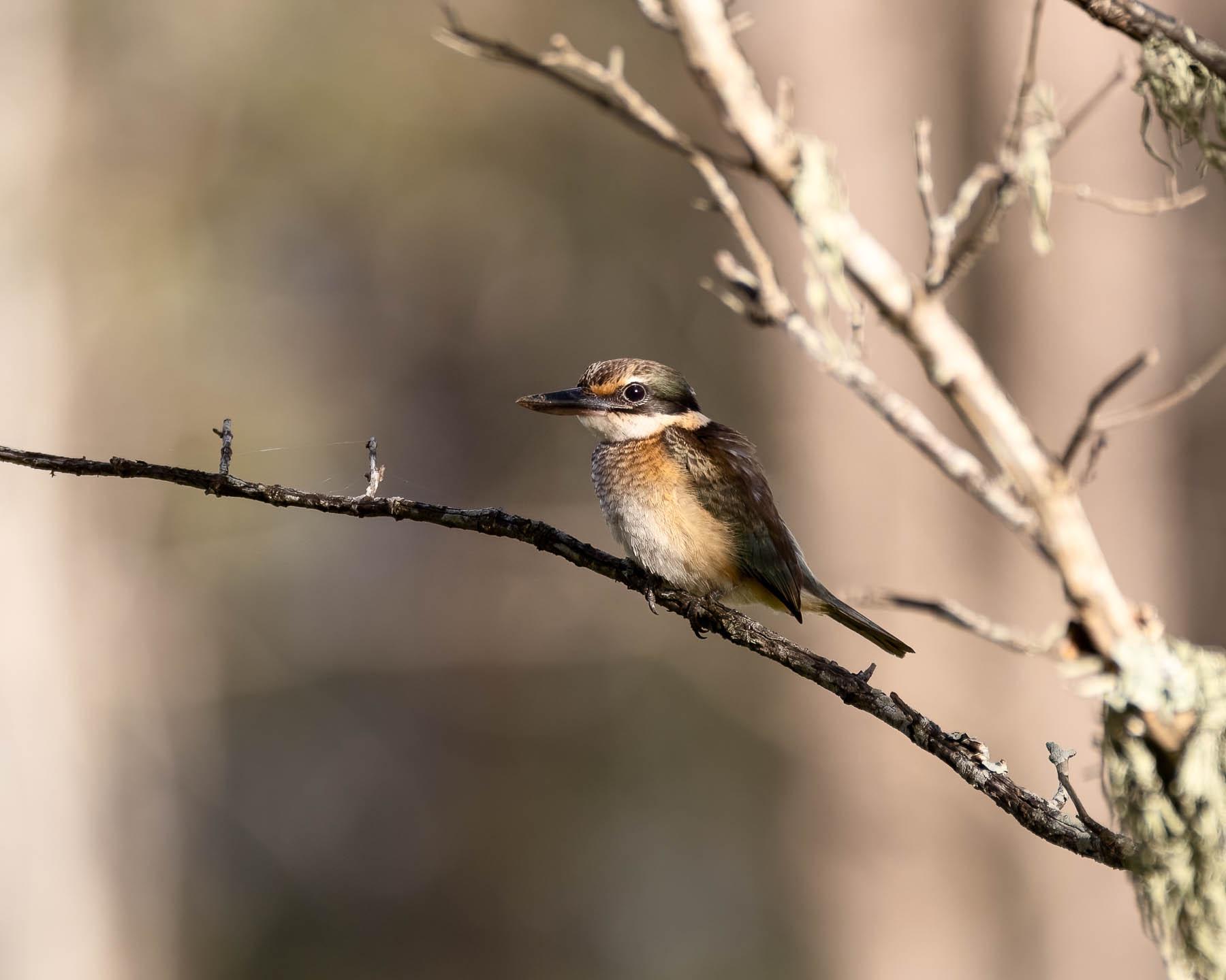 Sacred Kingfisher (Image ID 45517)