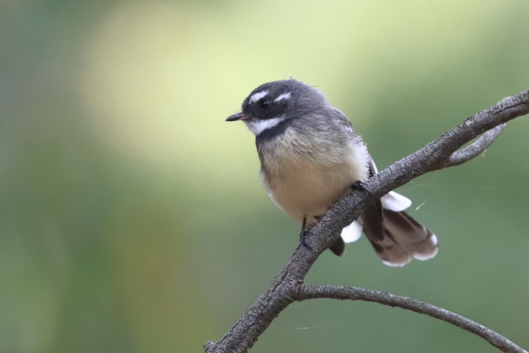 Grey Fantail (Image ID 45449)