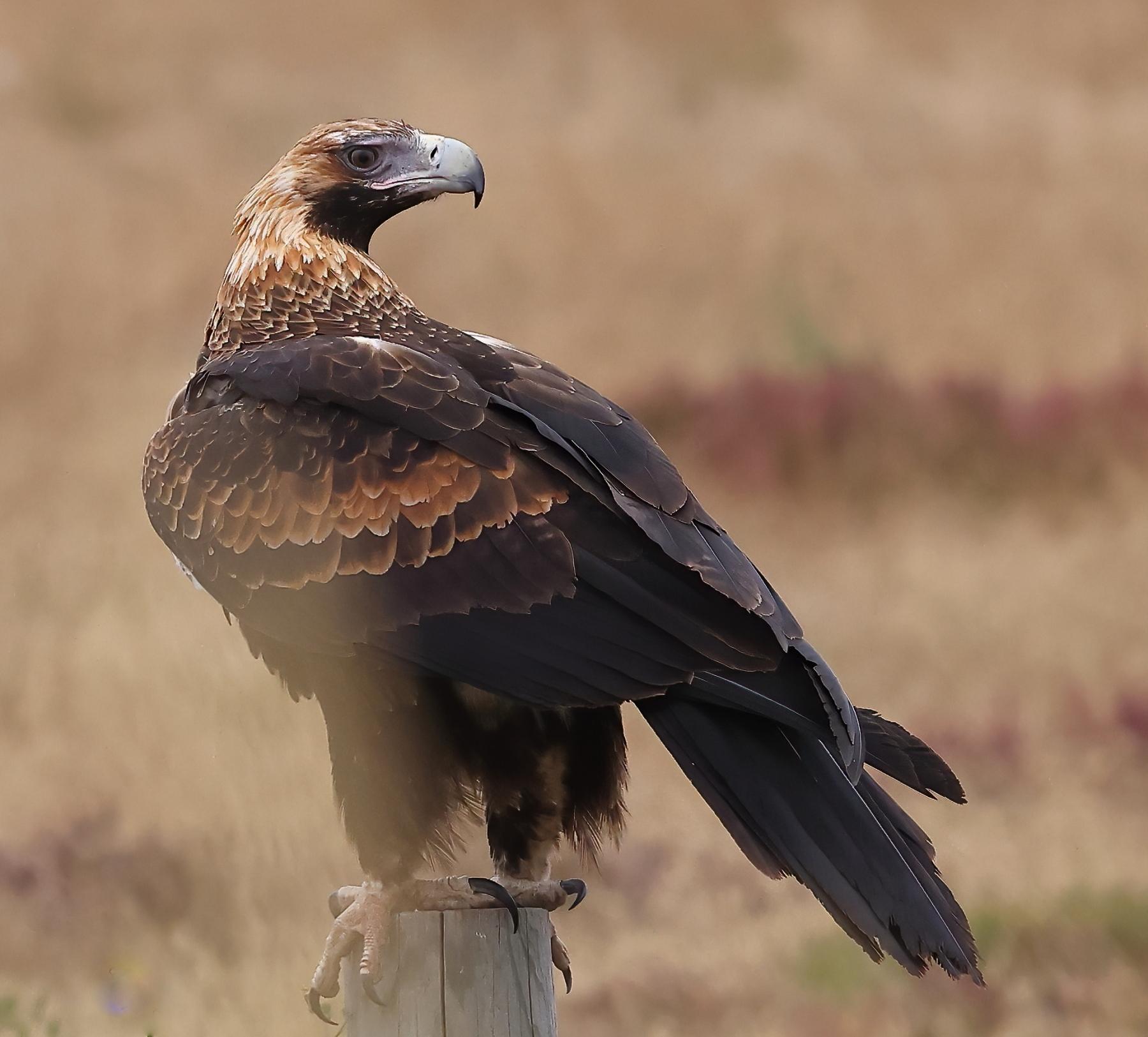 Wedge-tailed Eagle (Image ID 45201)