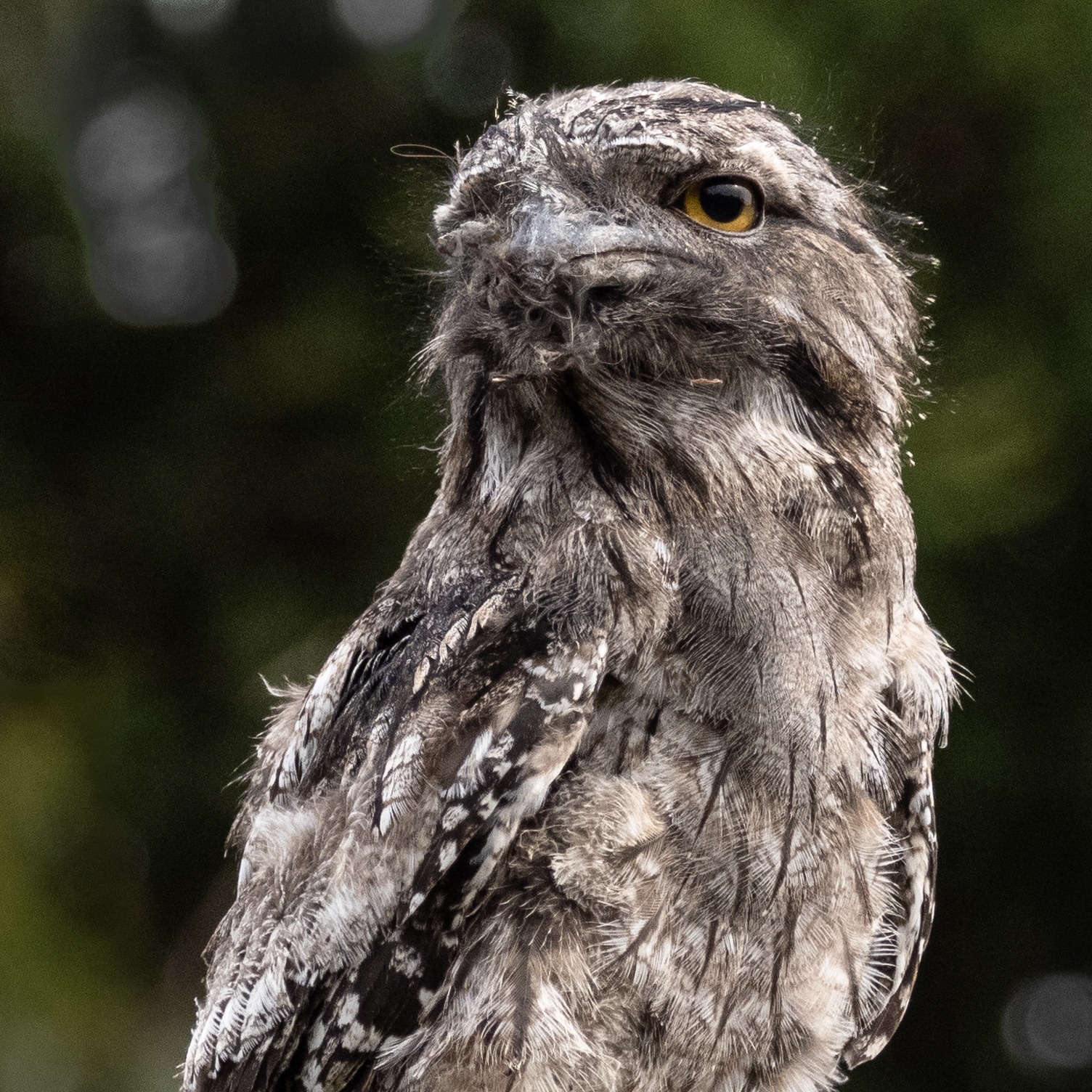 Tawny Frogmouth (Image ID 45478)