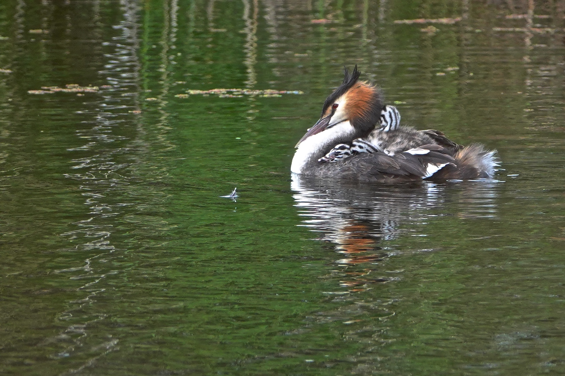 Great Crested Grebe (Image ID 45805)