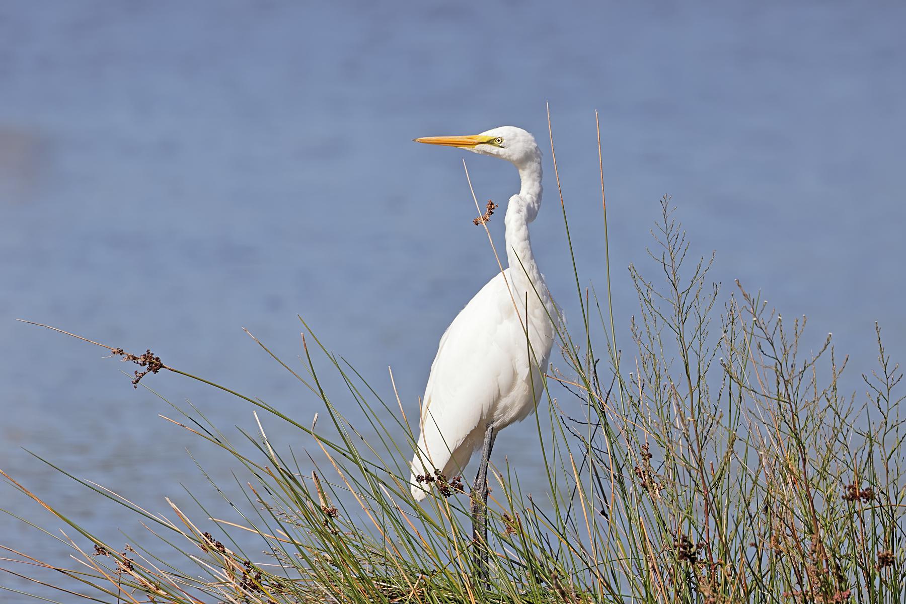 Great Egret (Image ID 45606)