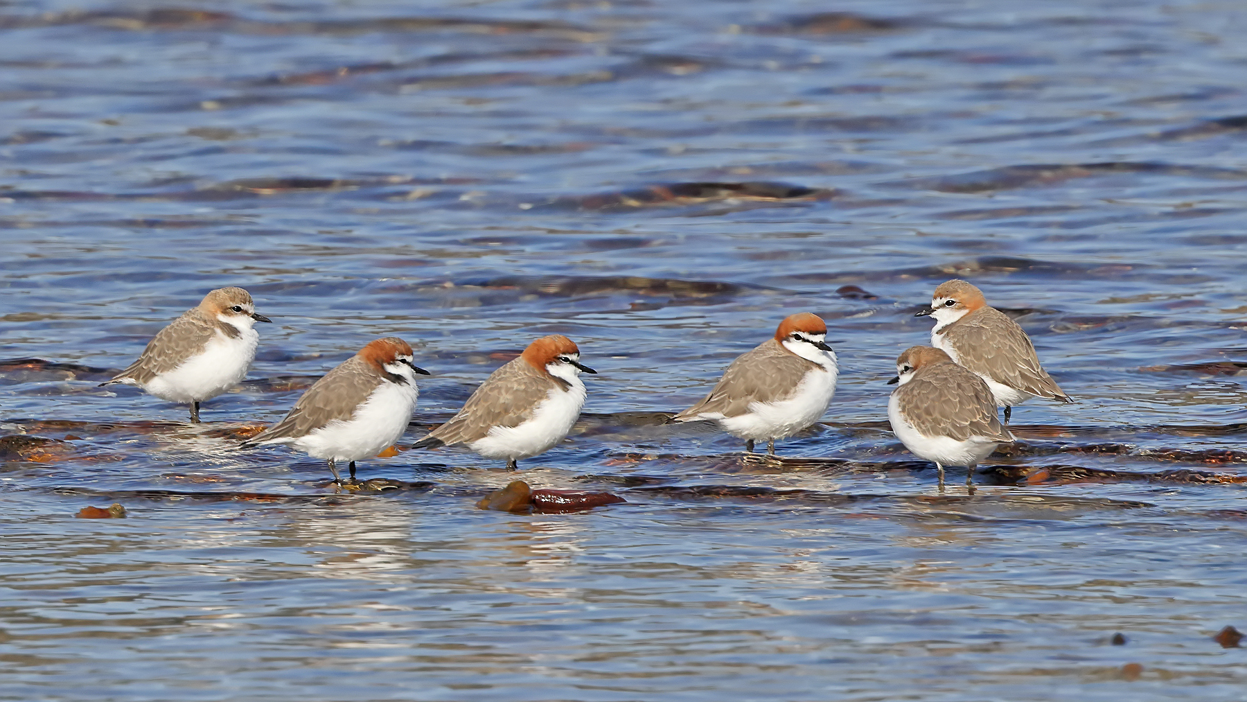 Red-capped Plover (Image ID 45892)