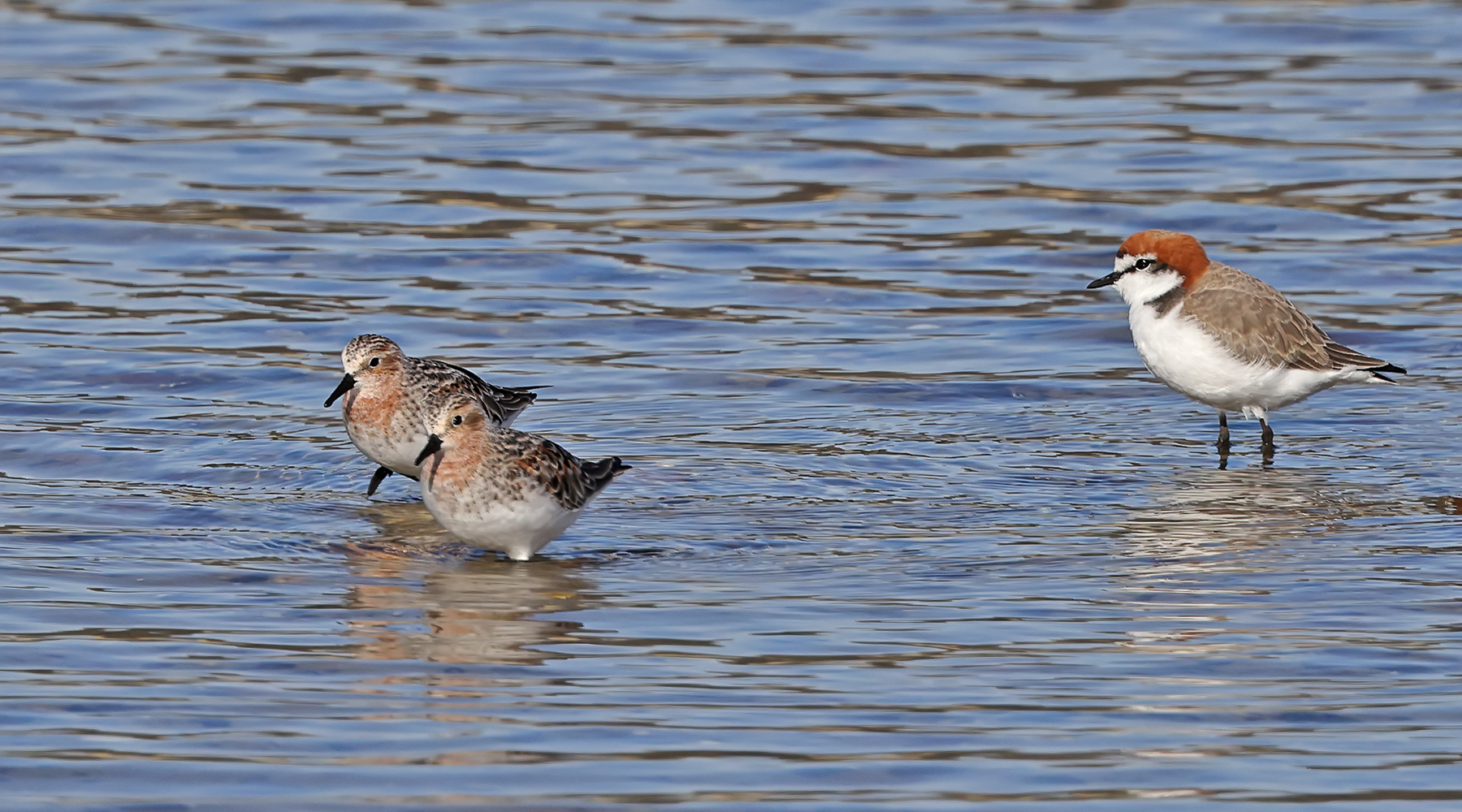 Red-capped Plover, Red-necked Stint (Image ID 45897)
