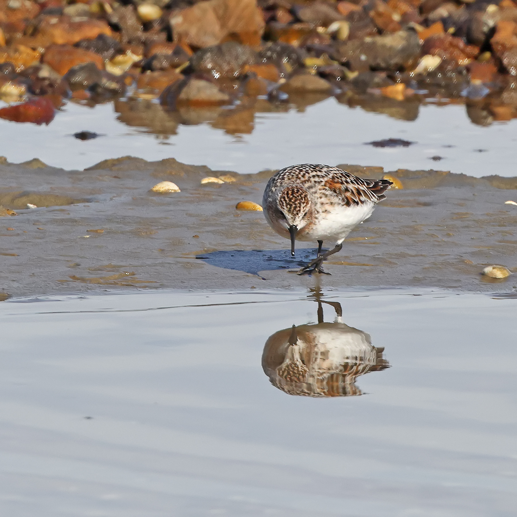 Red-necked Stint (Image ID 45899)