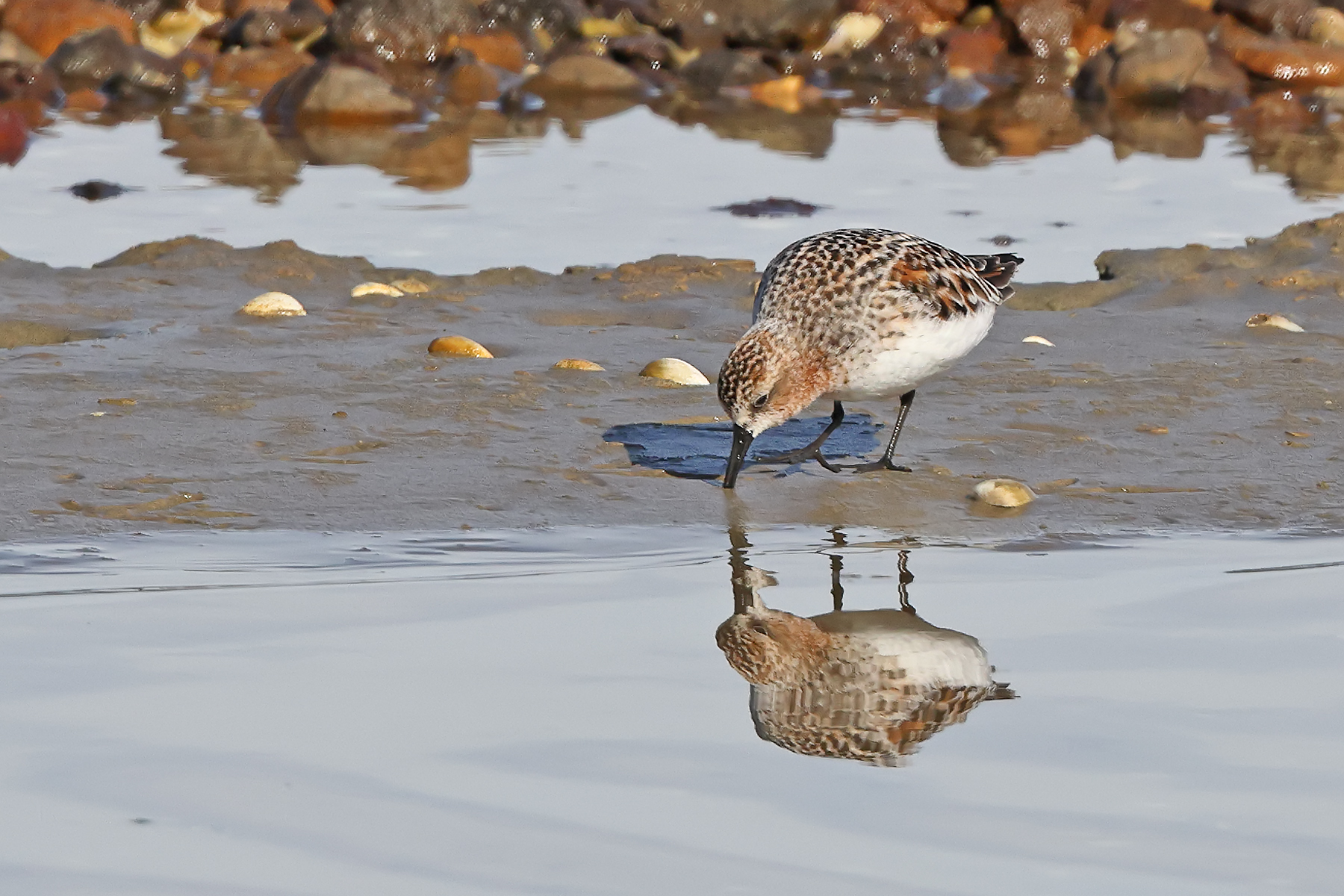 Red-necked Stint (Image ID 45898)