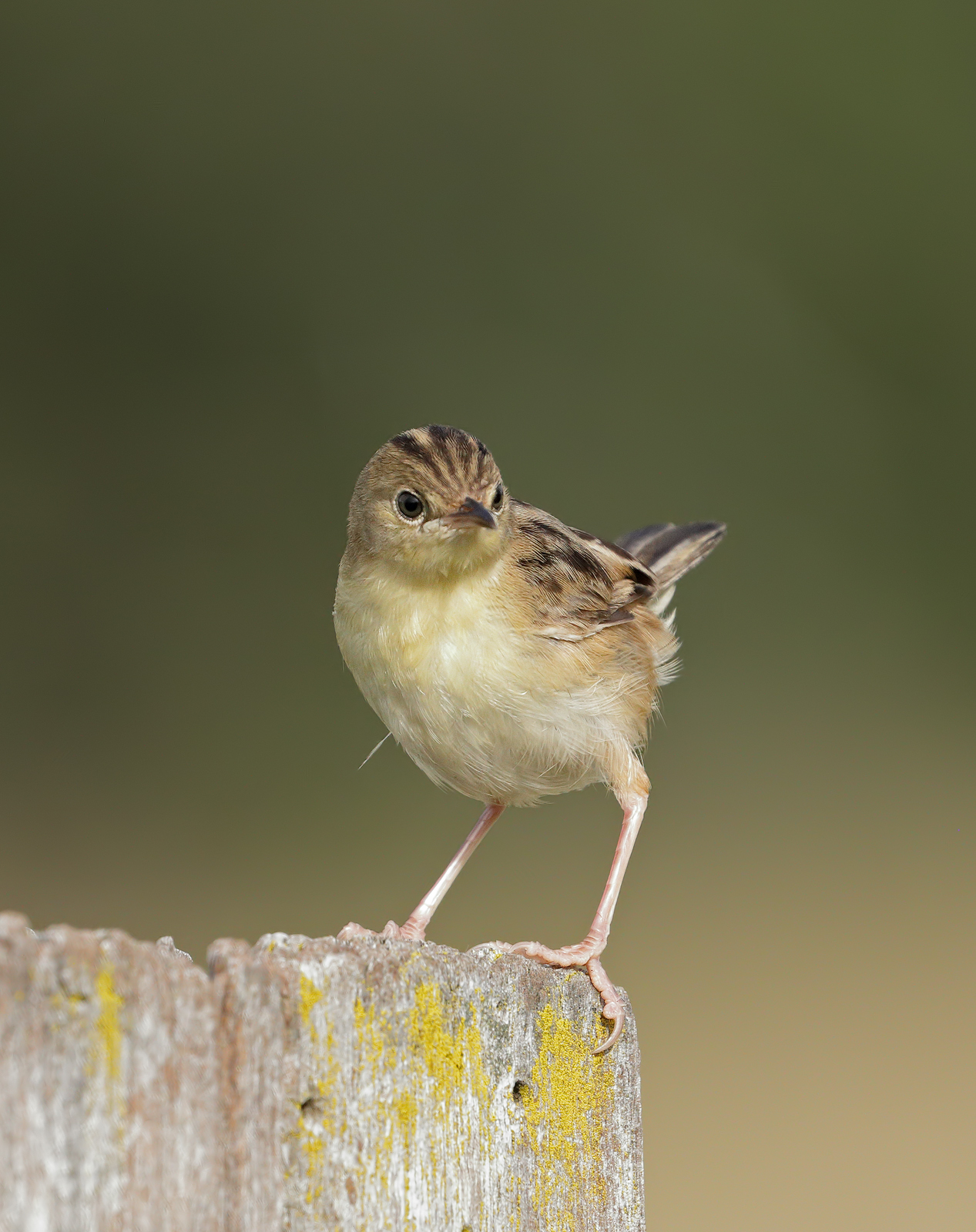 Golden-headed Cisticola (Image ID 45602)