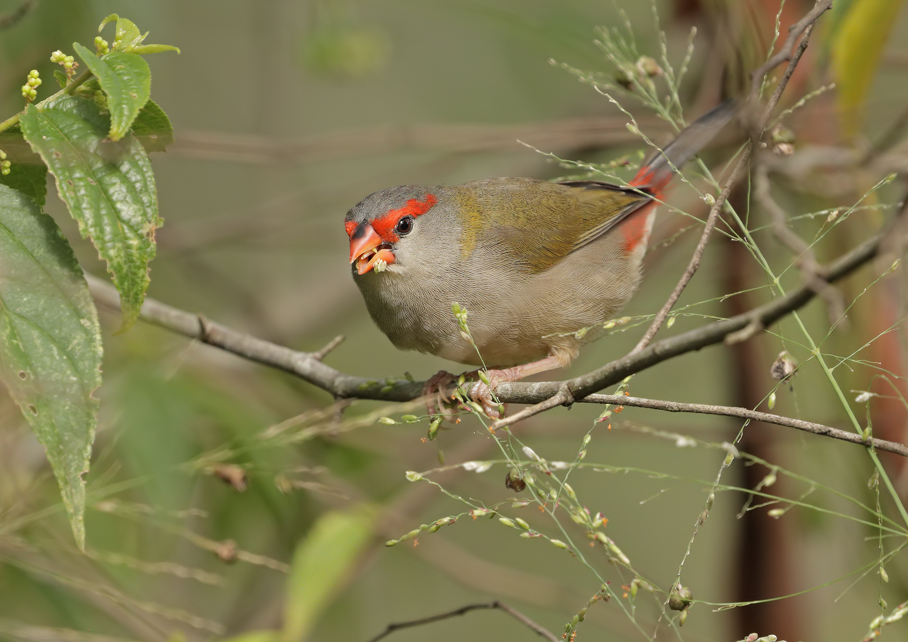 Red-browed Finch (Image ID 45680)