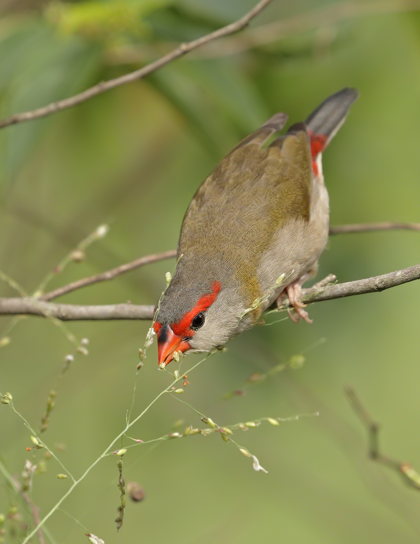 Red-browed Finch (Image ID 45679)