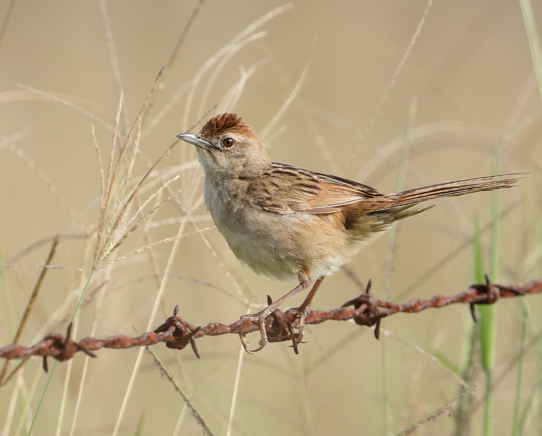 Tawny Grassbird (Image ID 45583)