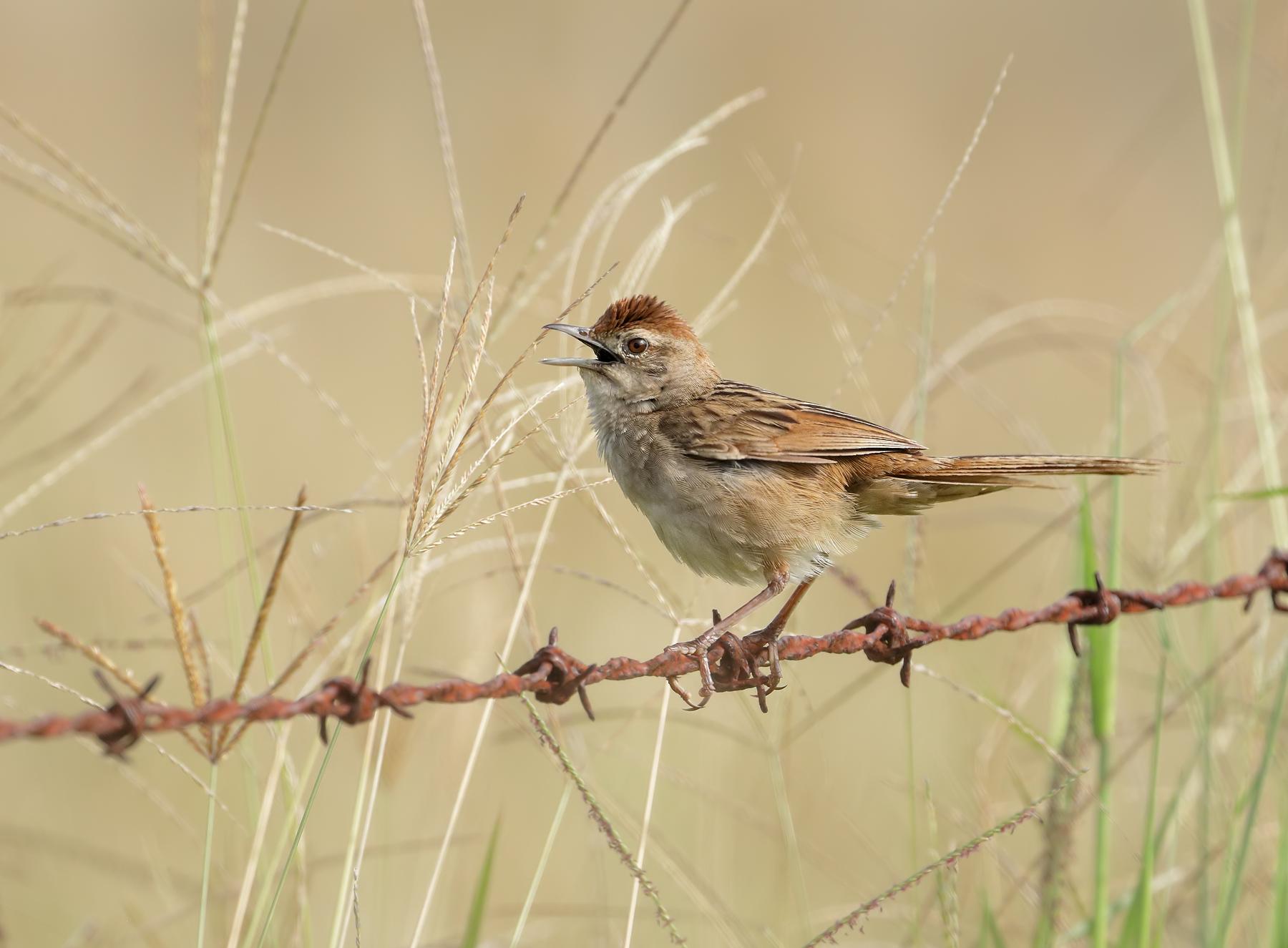 Tawny Grassbird (Image ID 45582)