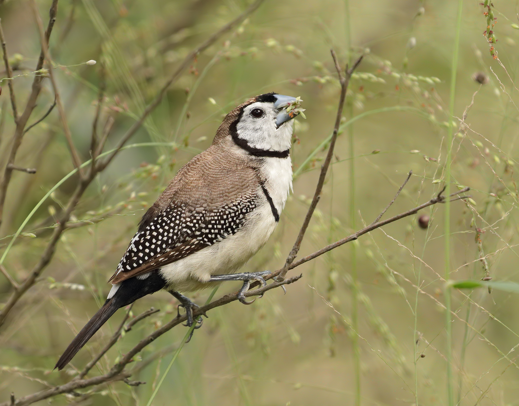 Double-barred Finch (Image ID 45678)