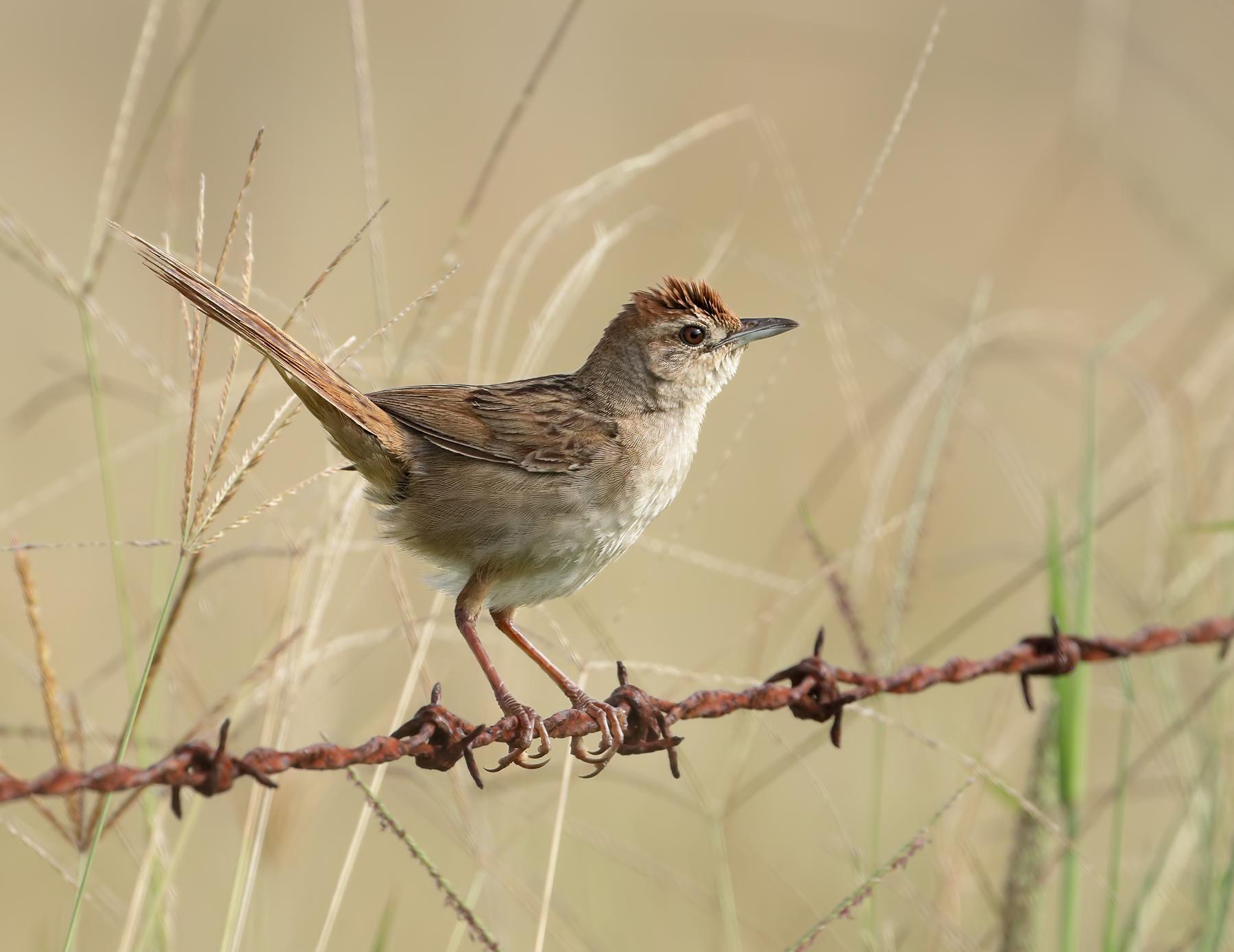 Tawny Grassbird (Image ID 45581)