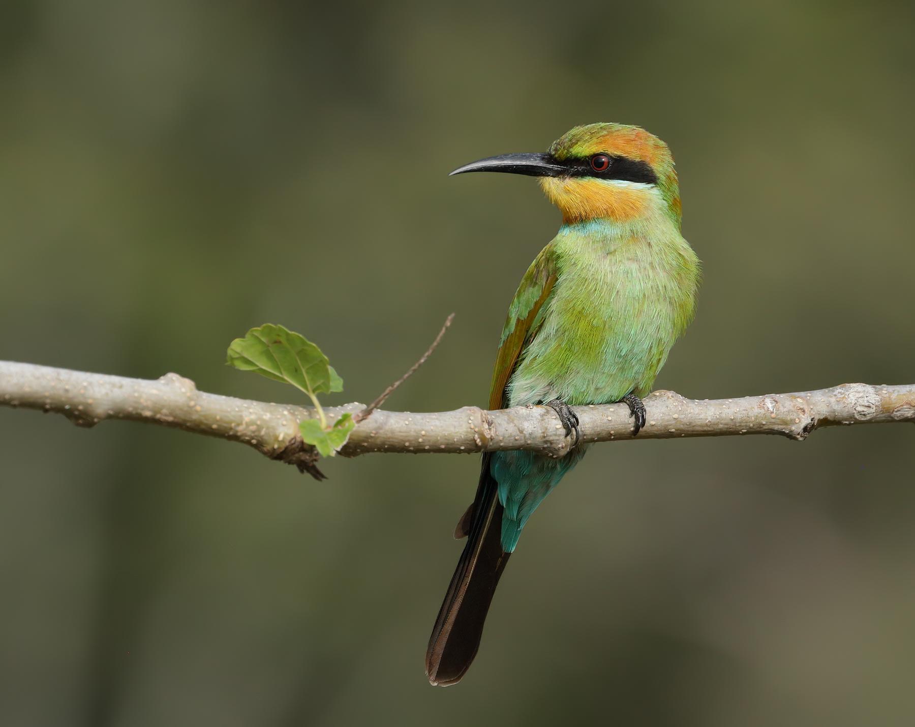 Rainbow Bee-eater (Image ID 45635)