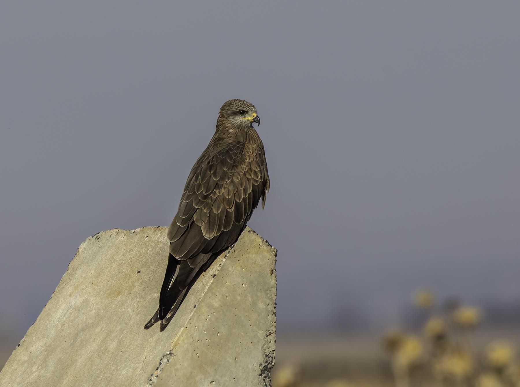Black Kite (Image ID 45614)