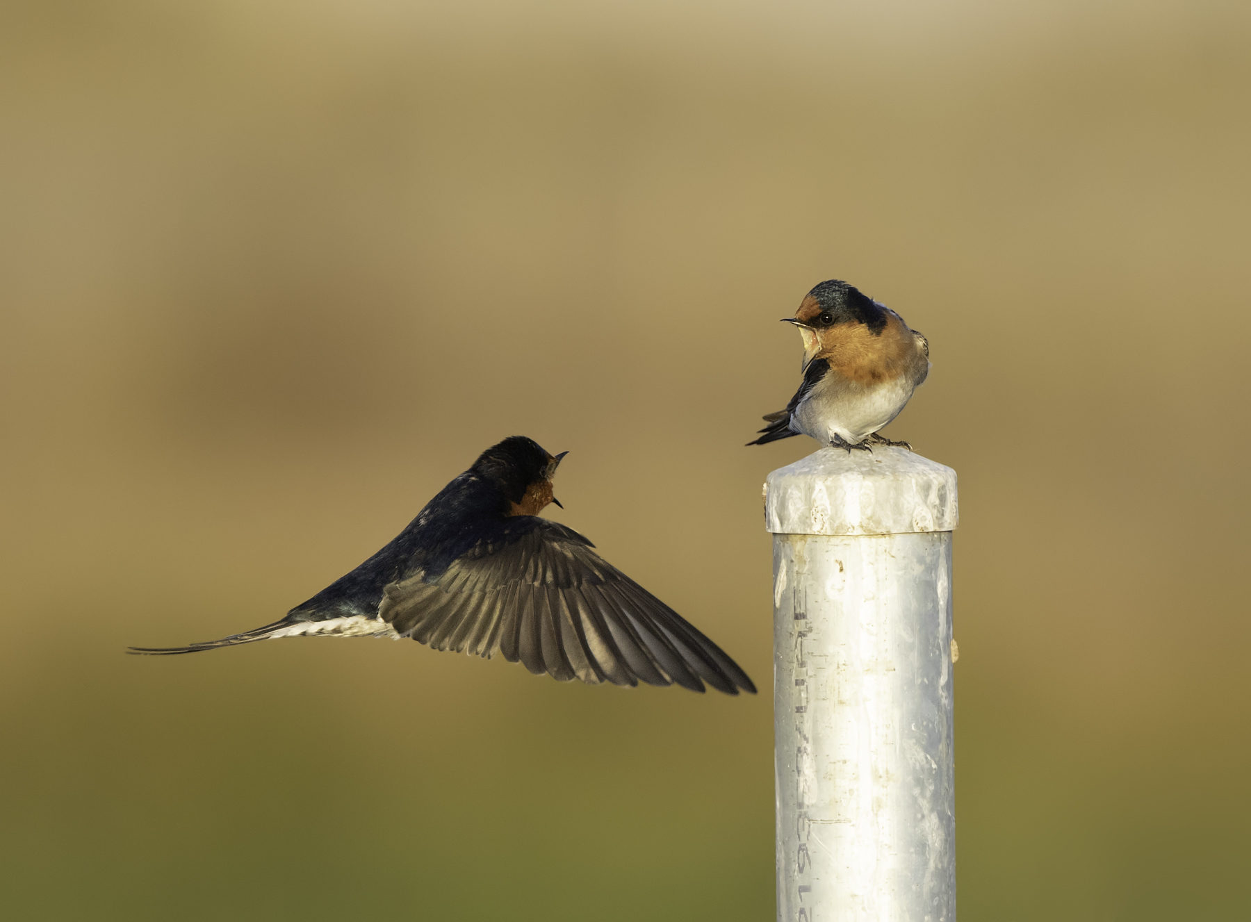 Welcome Swallow (Image ID 45613)
