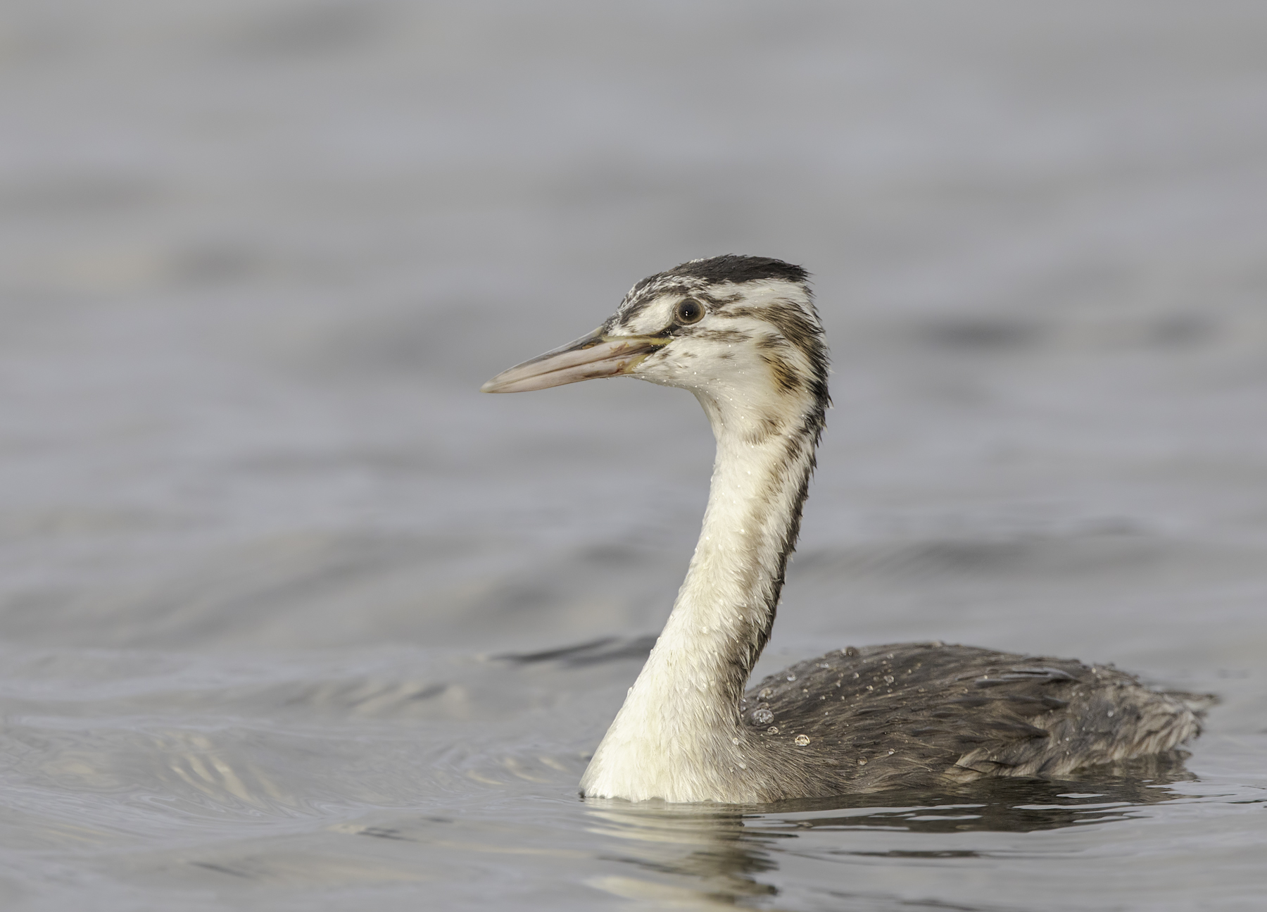 Great Crested Grebe (Image ID 45615)