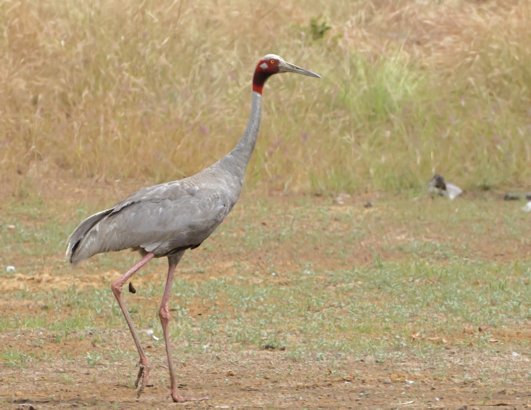 Sarus Crane (Image ID 45875)