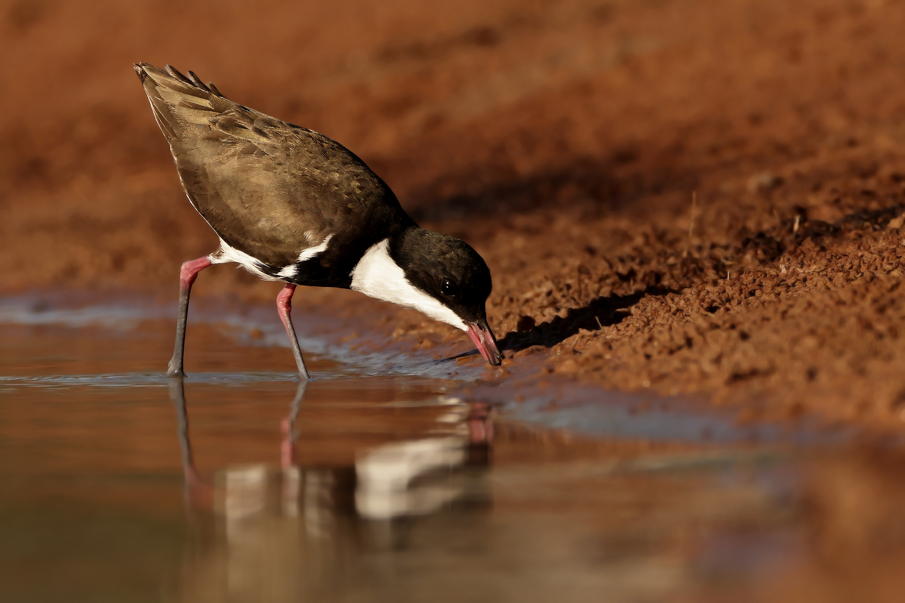 Red-kneed Dotterel (Image ID 45708)