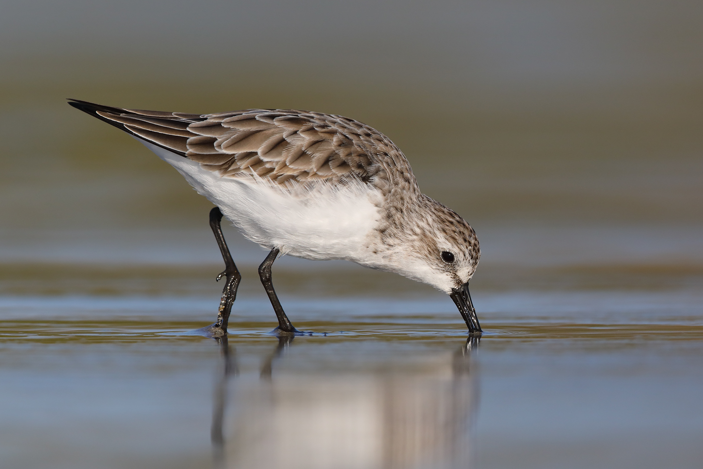 Red-necked Stint (Image ID 45655)