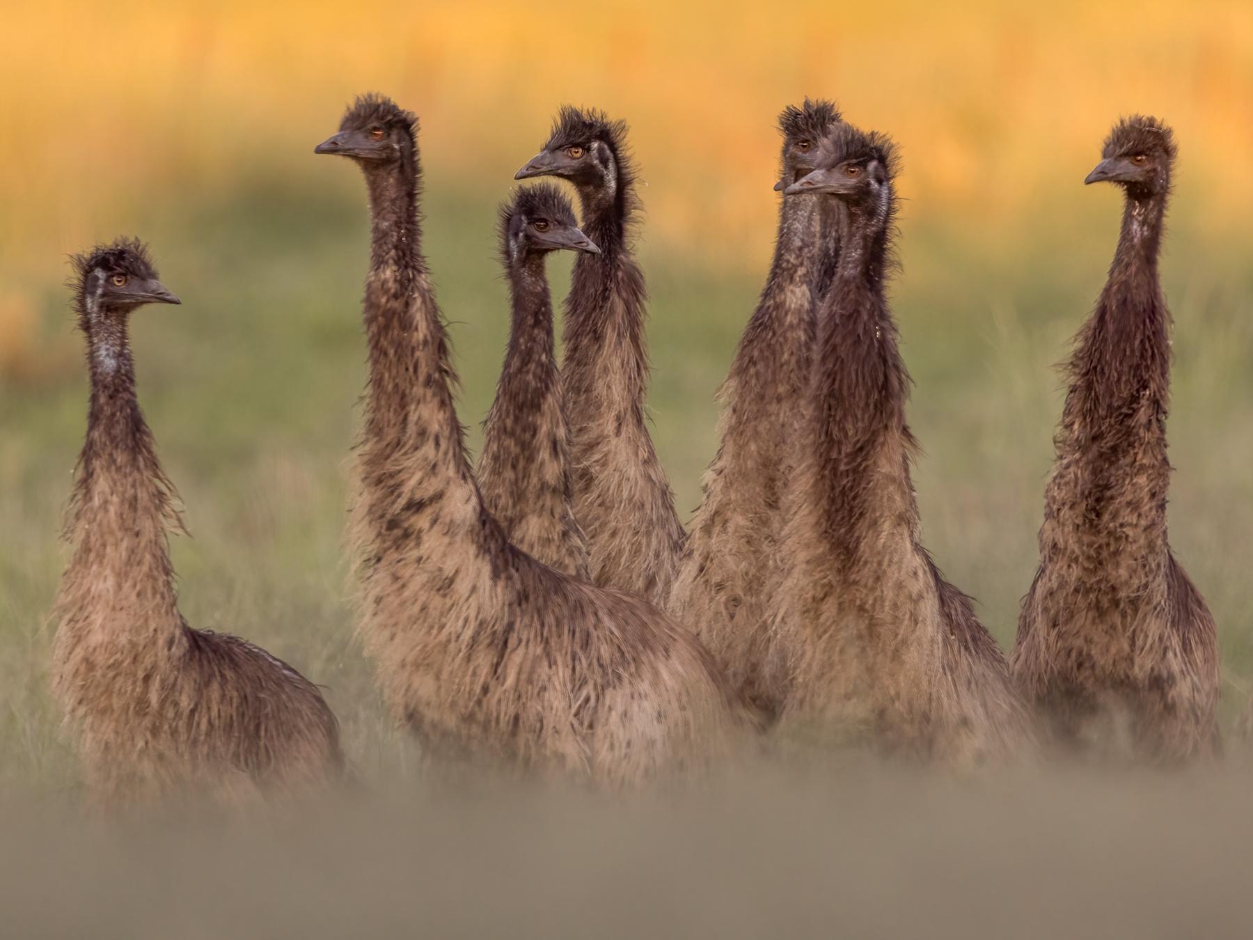 Emu (Image ID 45607)