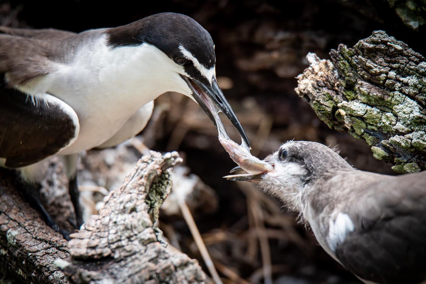 Bridled Tern (Image ID 45558)