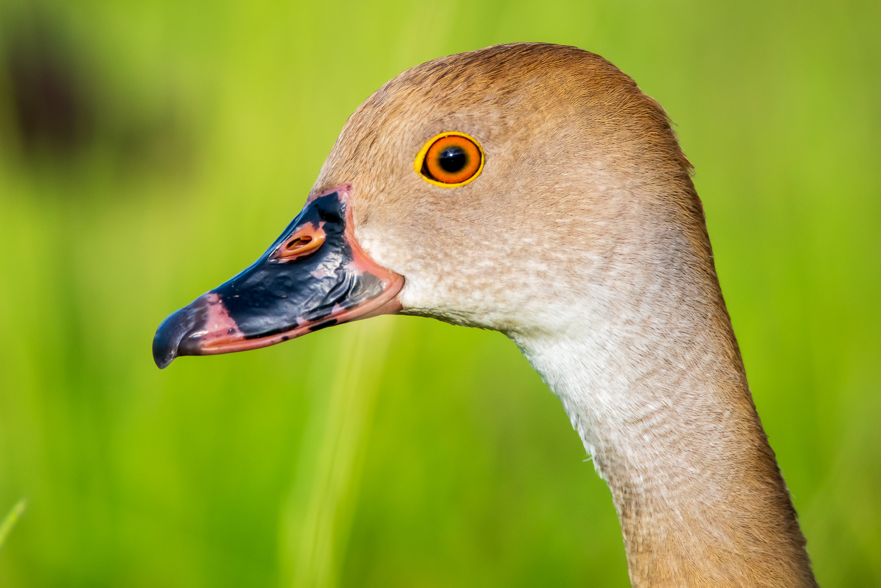 Plumed Whistling-Duck (Image ID 45577)