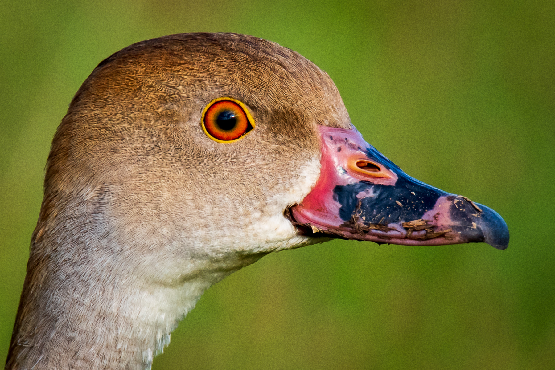 Plumed Whistling-Duck (Image ID 45576)