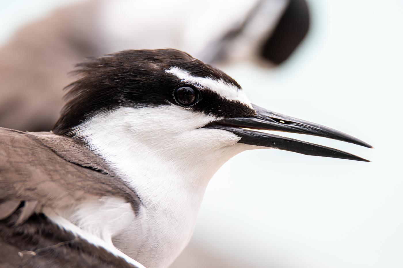 Bridled Tern (Image ID 45559)