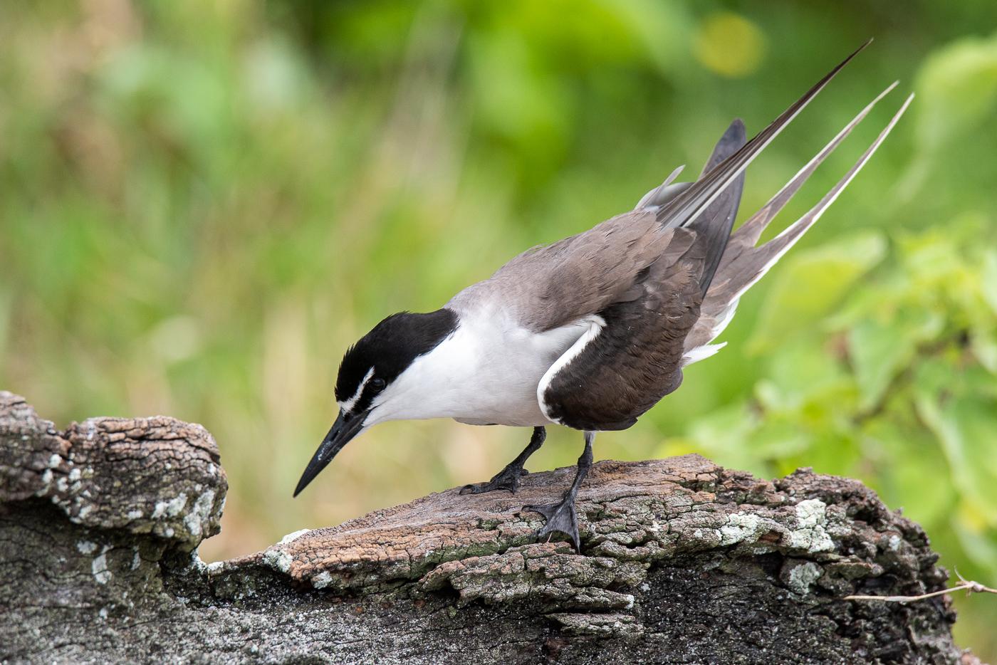 Bridled Tern (Image ID 45560)
