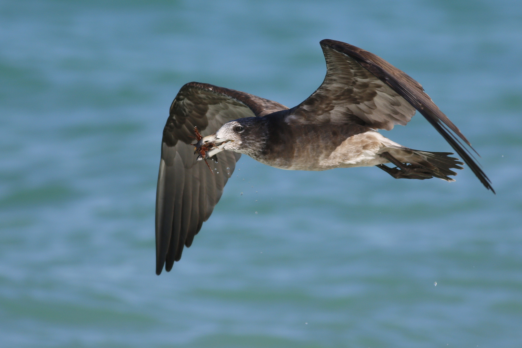 Pacific Gull (Image ID 45573)