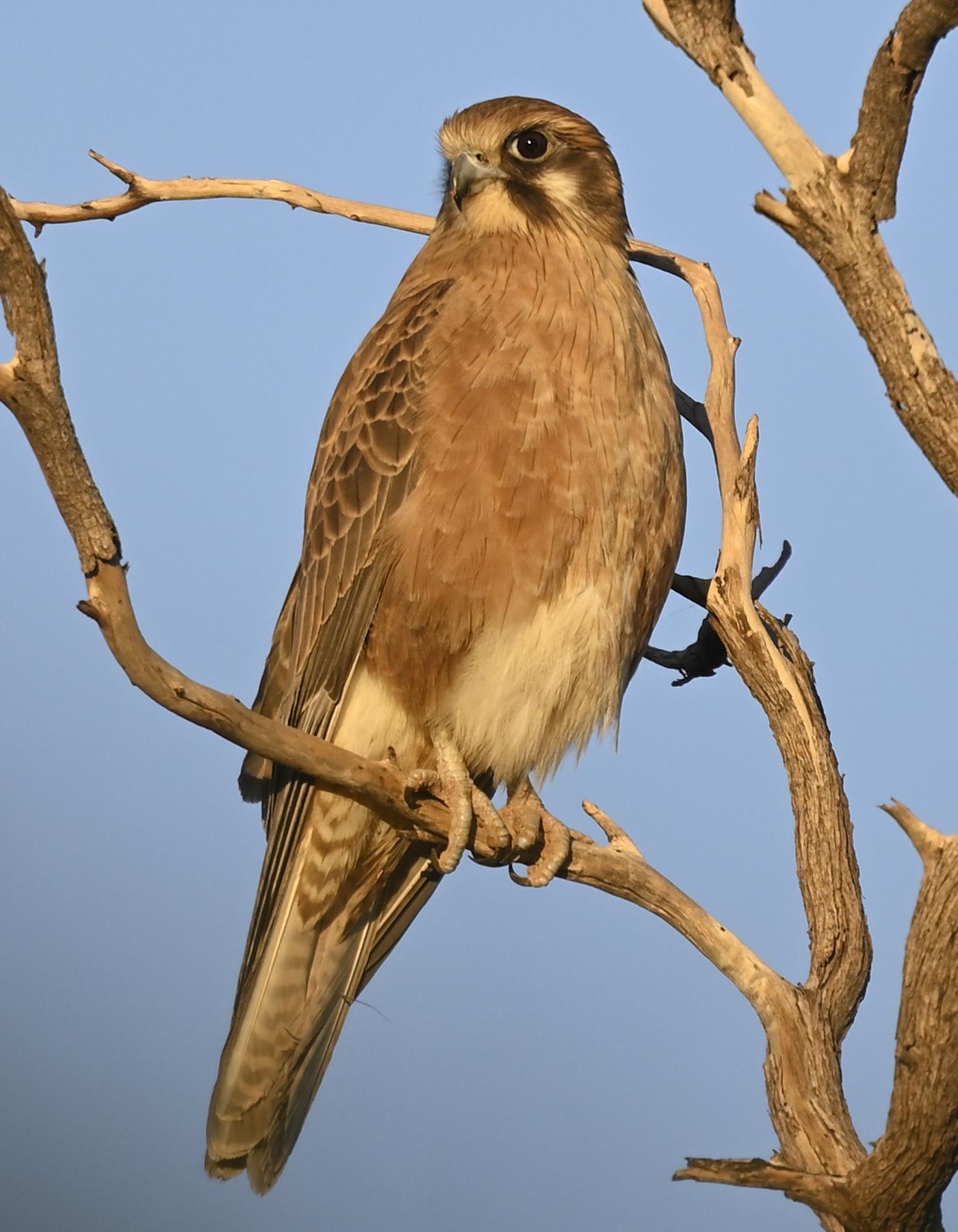 Brown Falcon (Image ID 45832)